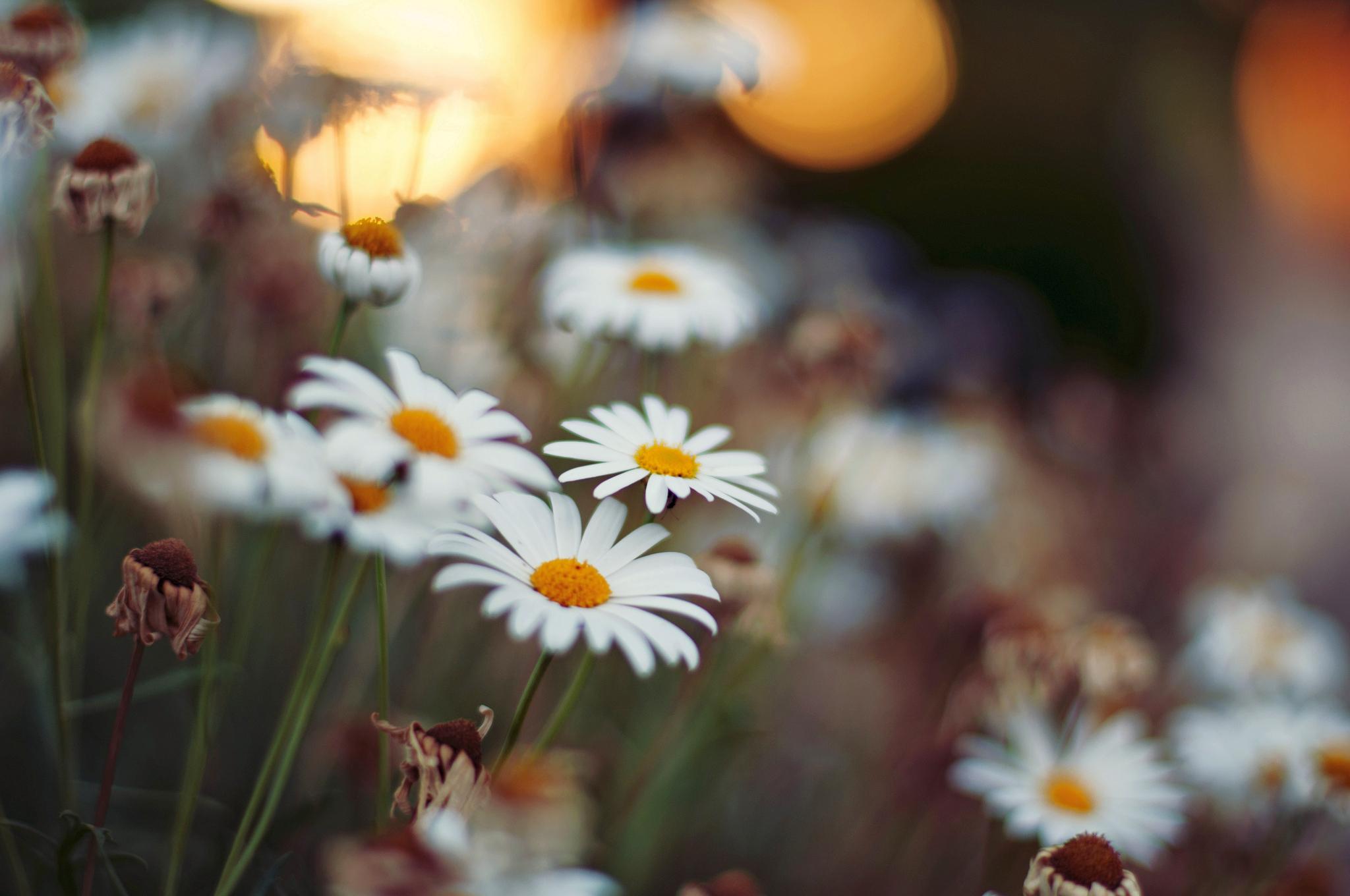 ромашка цветы фокус  № 1096383  скачать