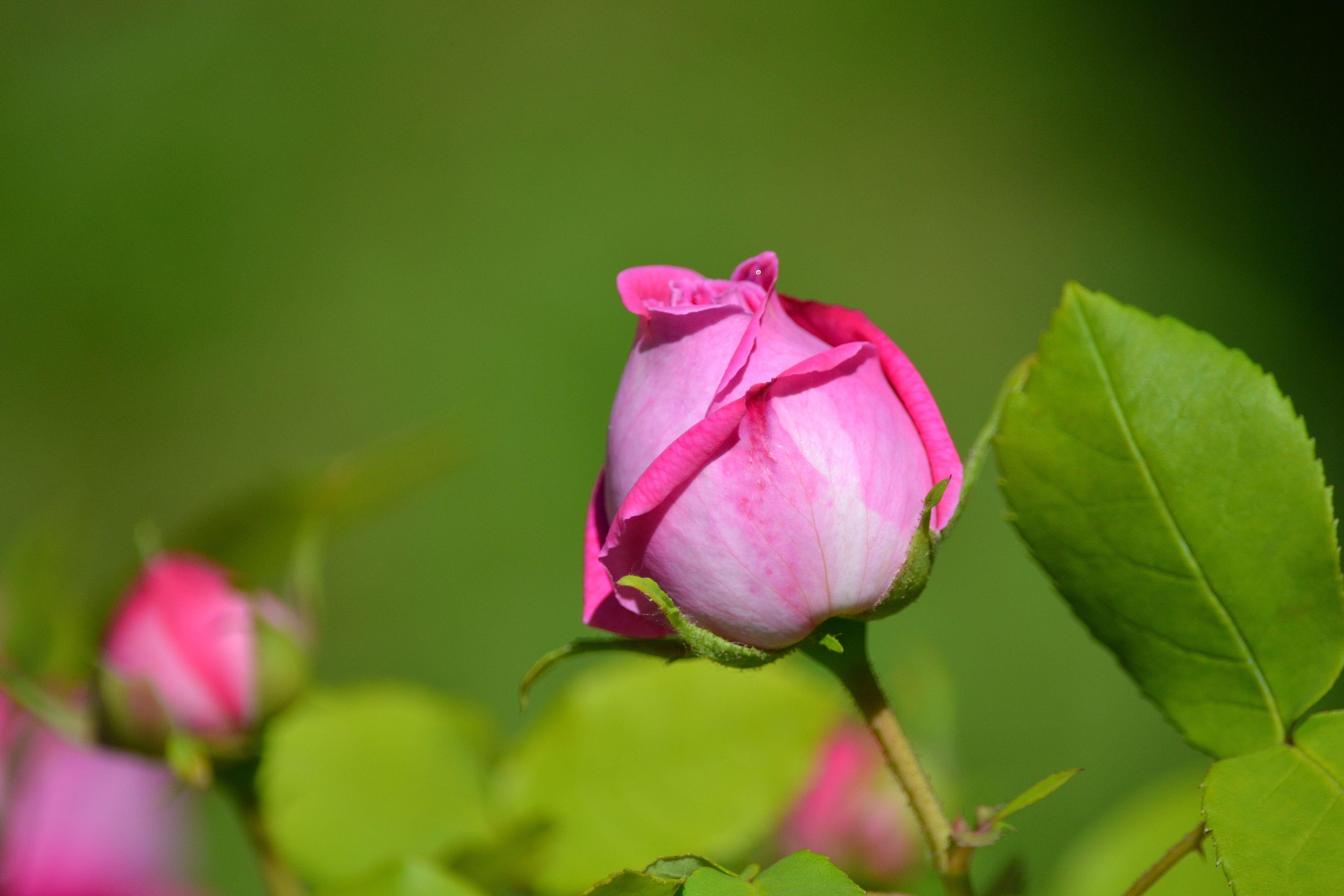 роза,лепестки,листья  № 705677 бесплатно