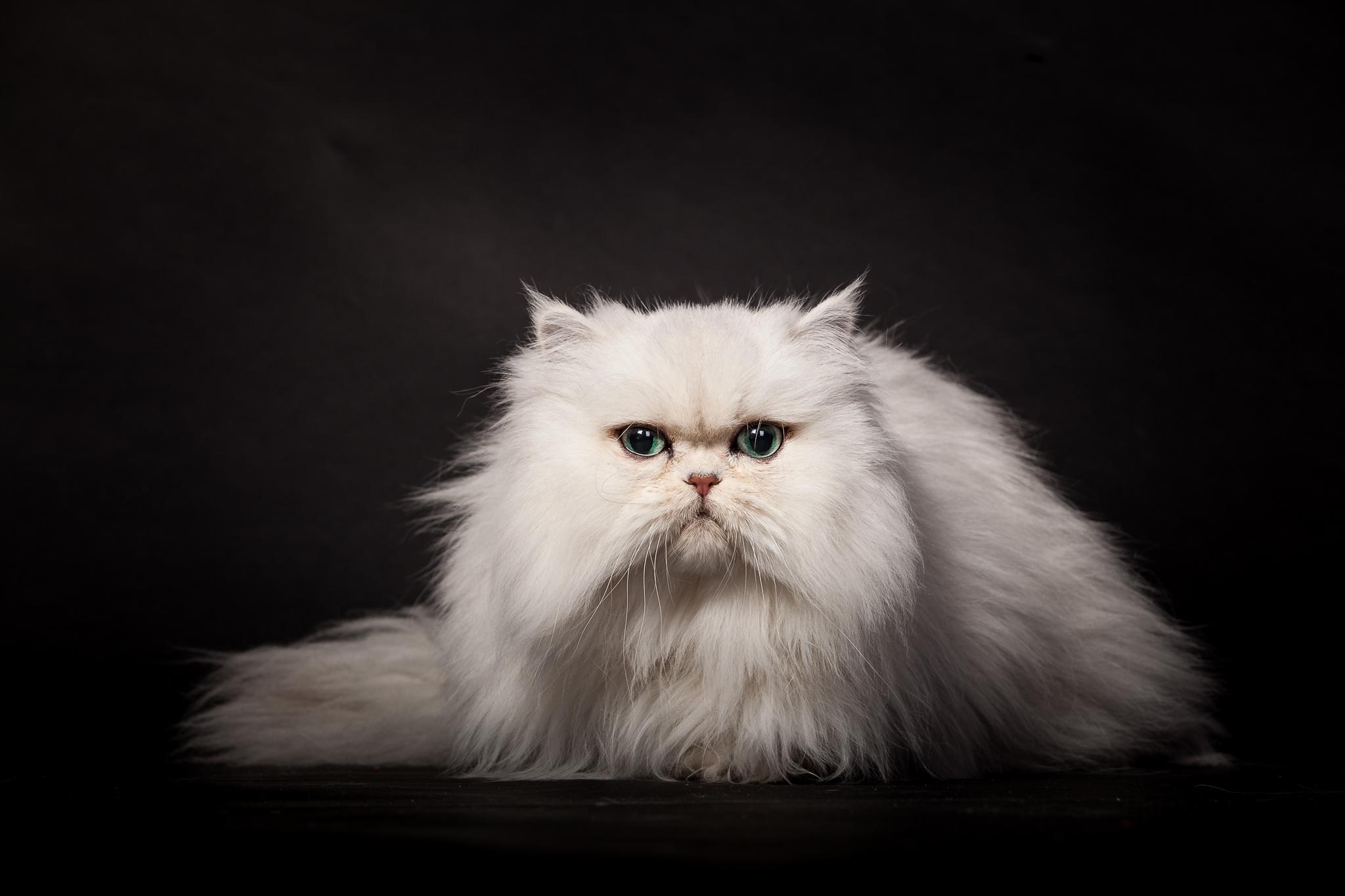 кот пушистый белый без смс