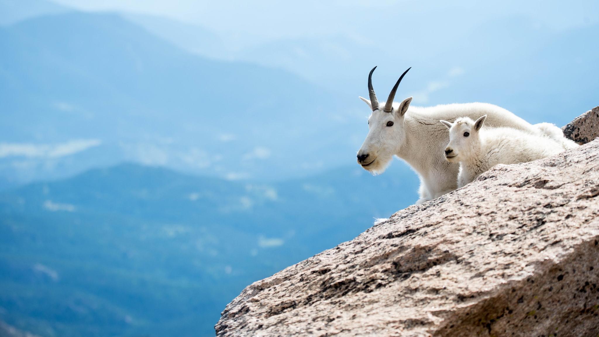коза мордочка рога смотреть