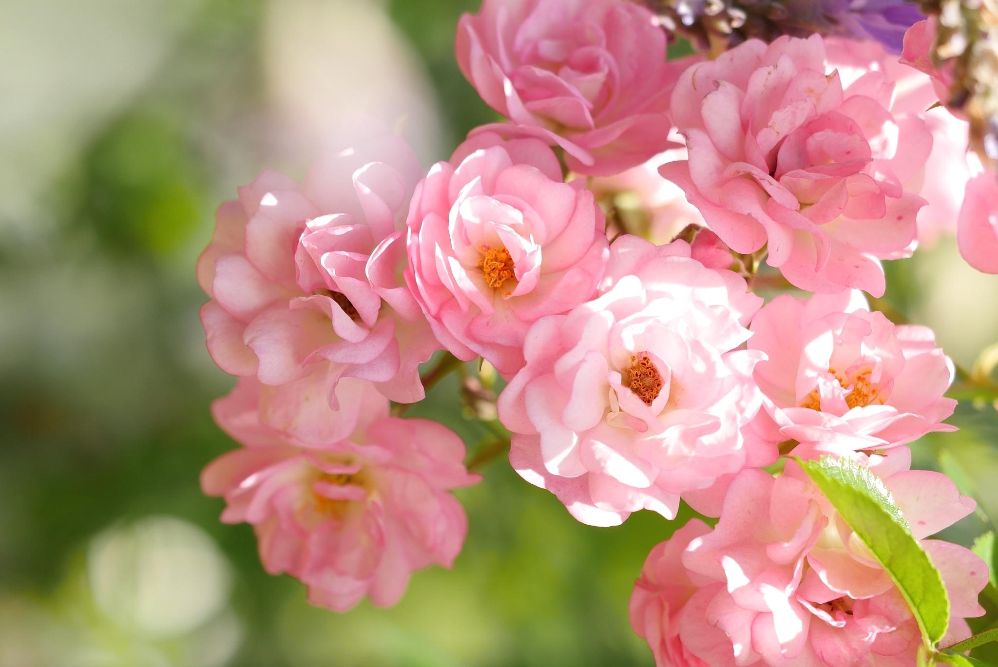 картинки с цветами розового цвета этой