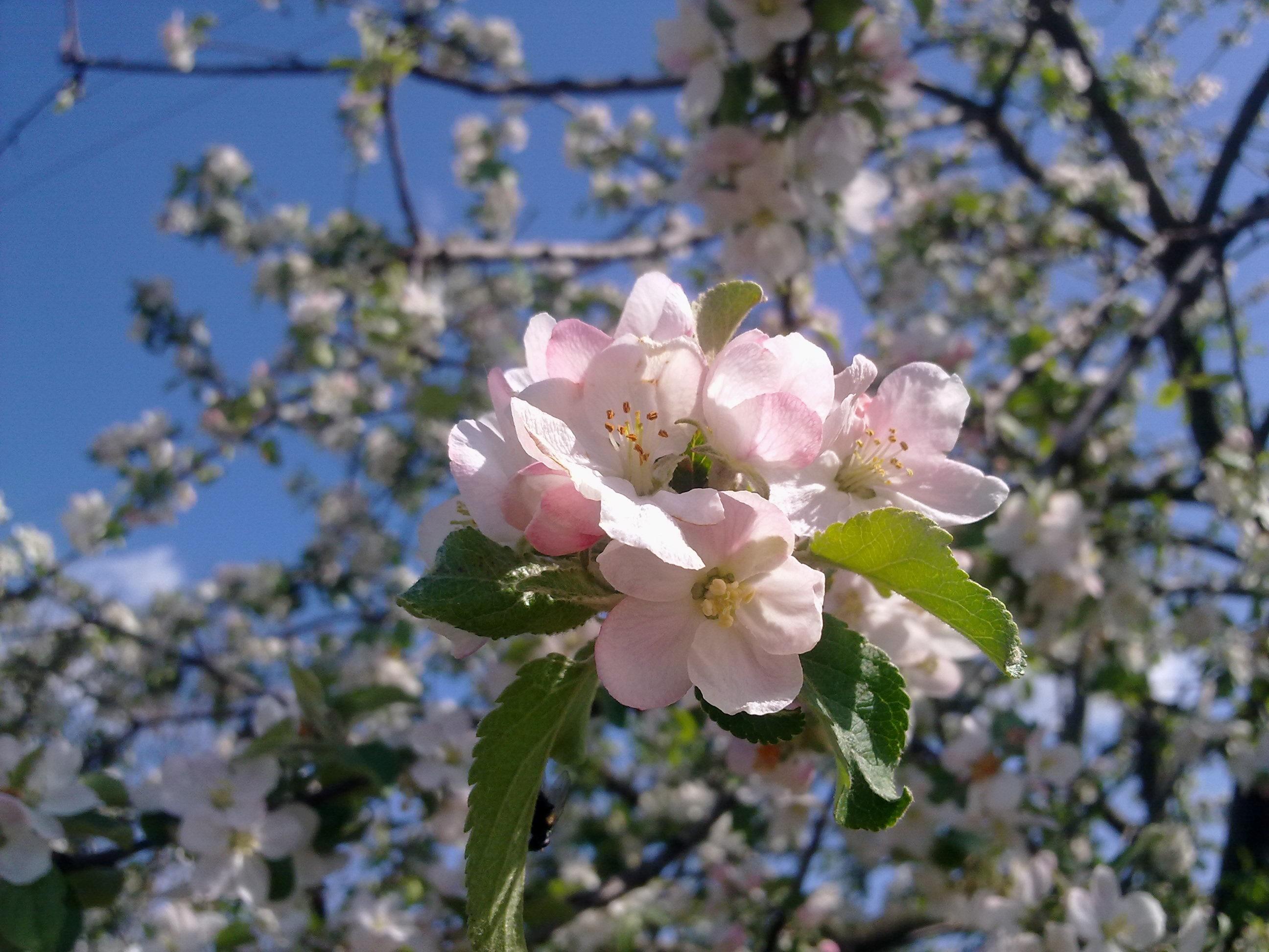 итогам конкурса цветение яблонь фото издревле считали блин