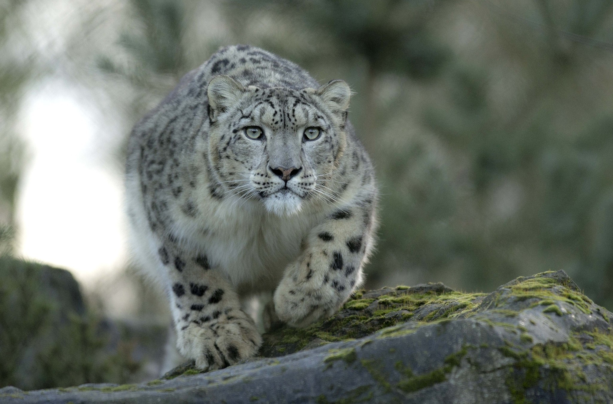 snow leopards in natural seclection .