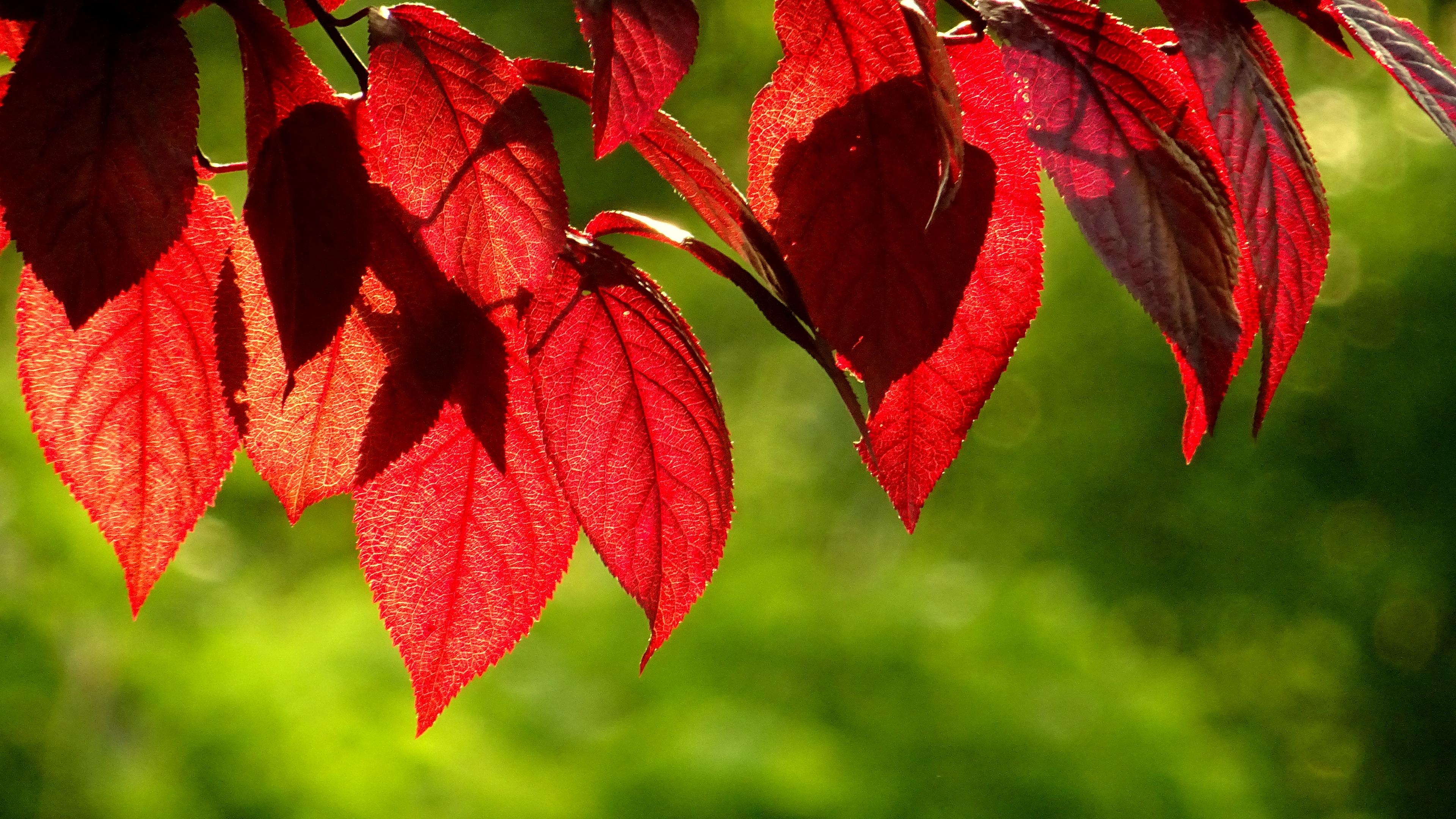 Красный листок бесплатно