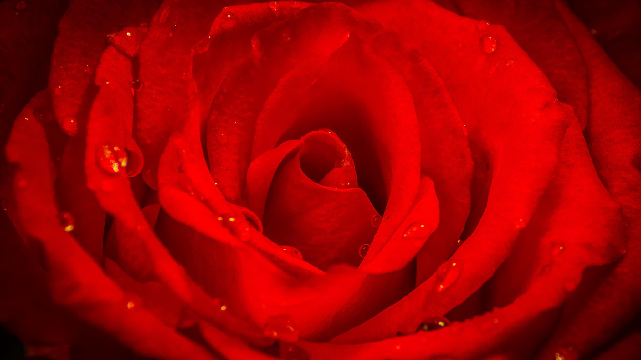 капли роза лепестки загрузить