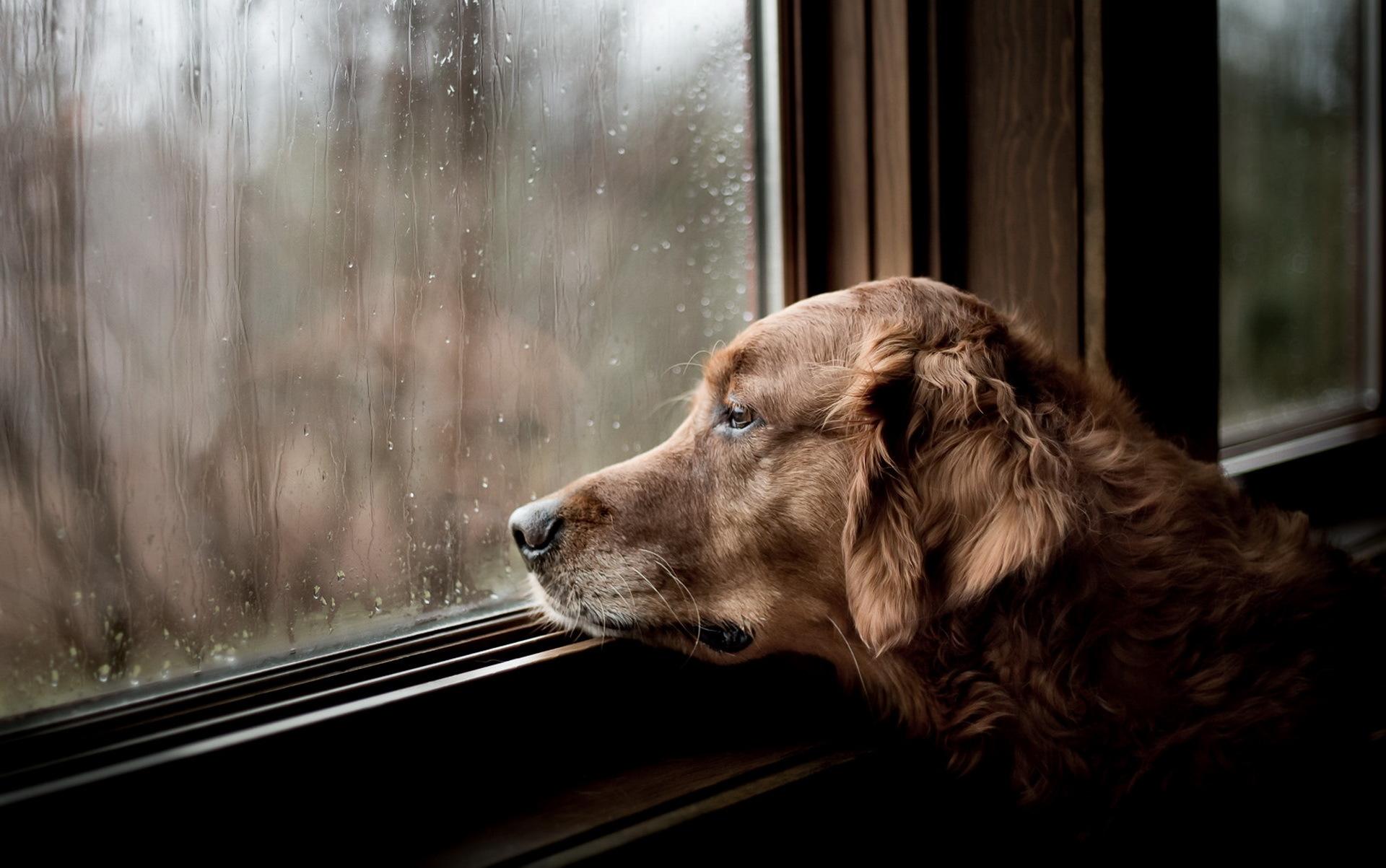 Пес ожидание у окна  № 1941183 загрузить