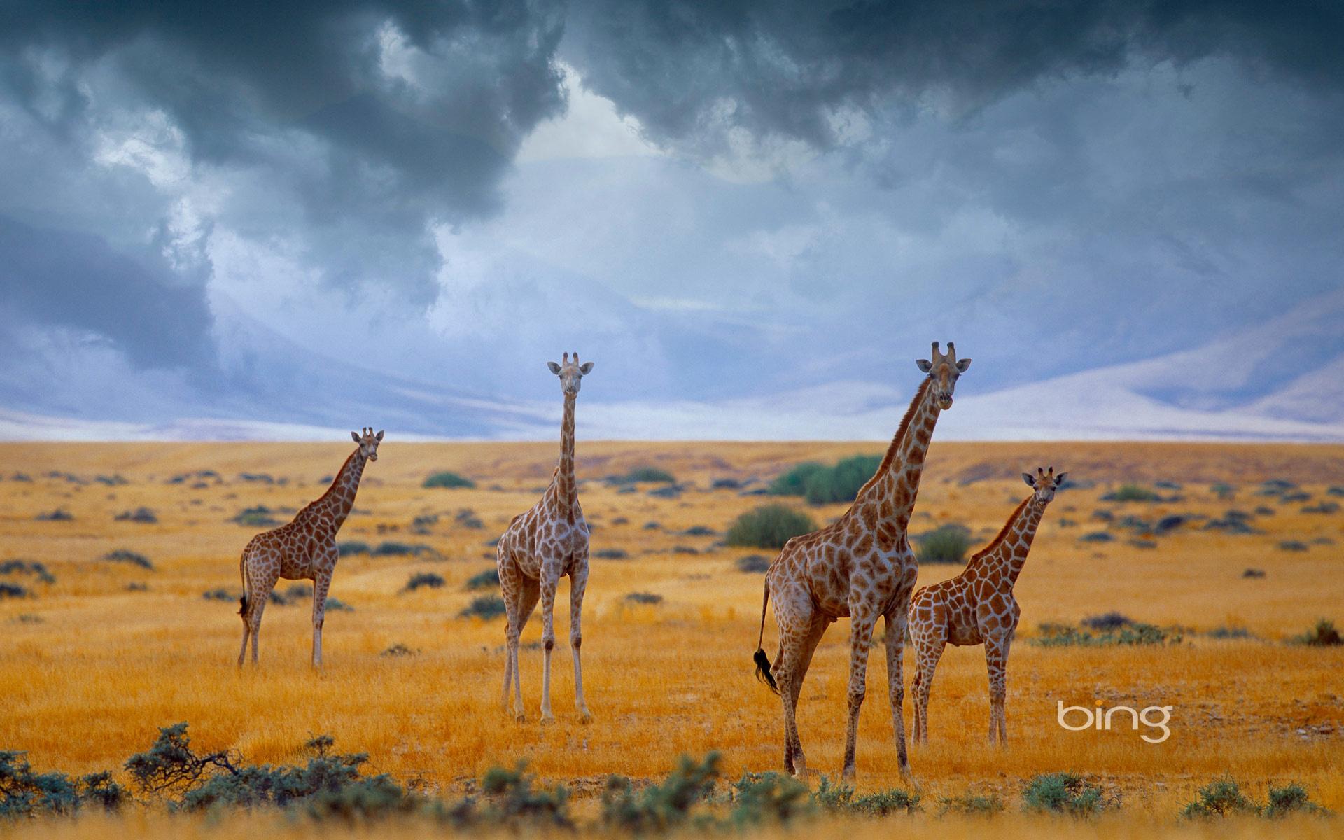 Thirsty Giraffes, Etosha National Park, Namibia  № 1442836 бесплатно