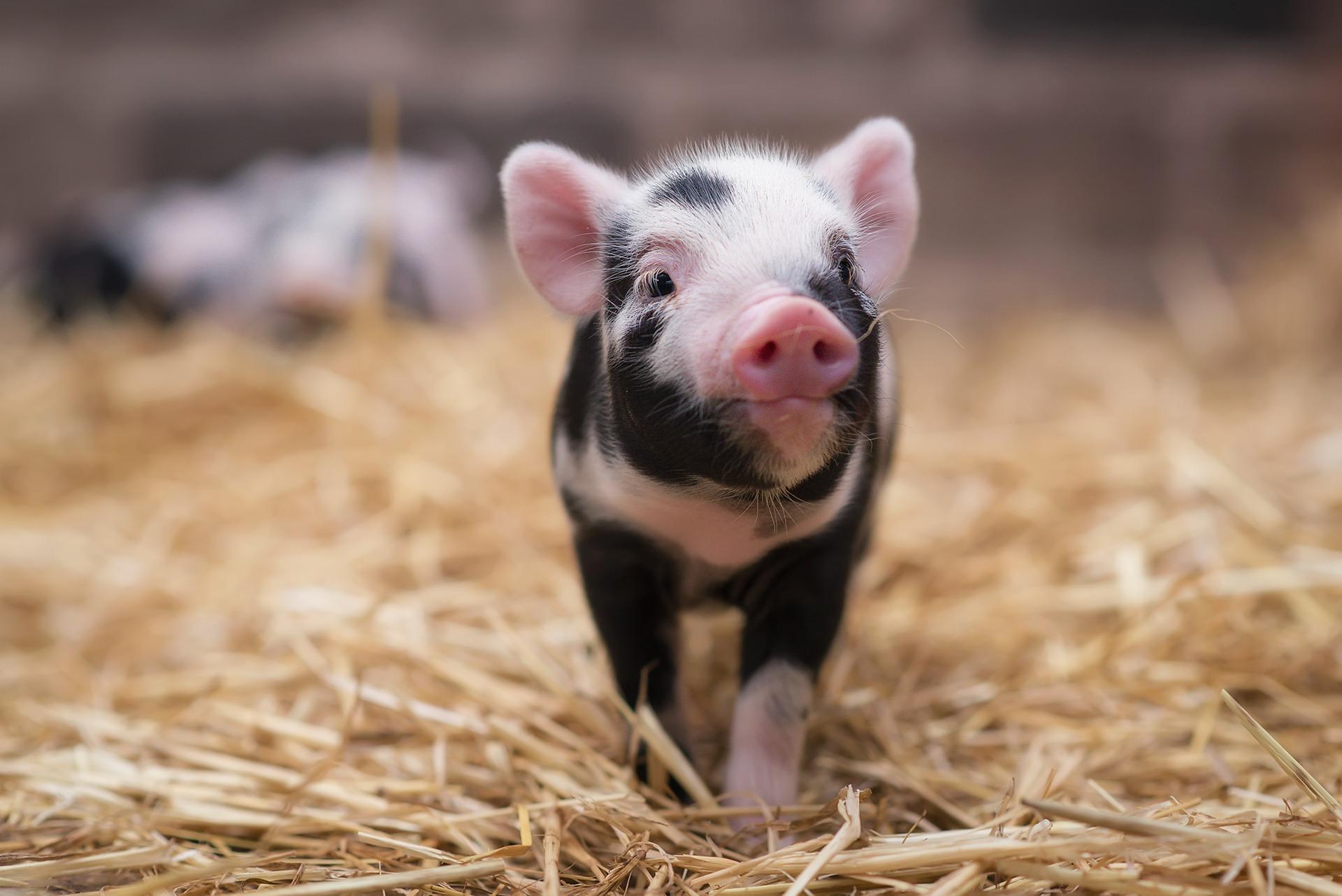 Свиньи картинки, муррр