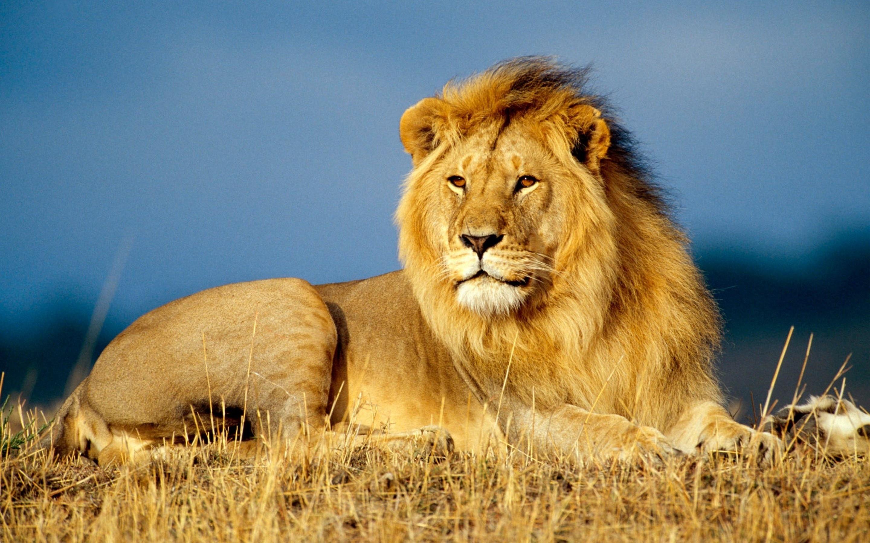 сегодняшний день из-за чего карла льва назвали львом просто