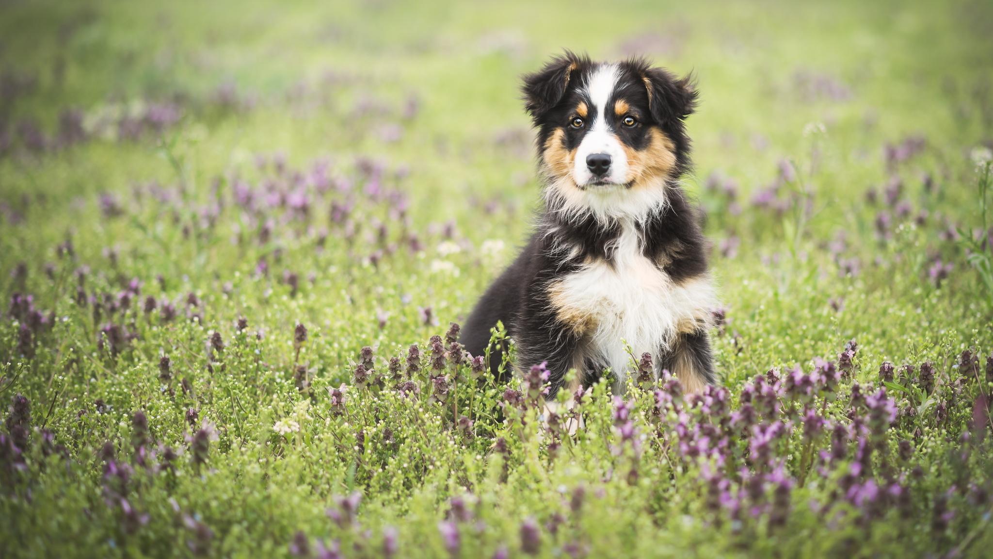 собака поле цветы загрузить