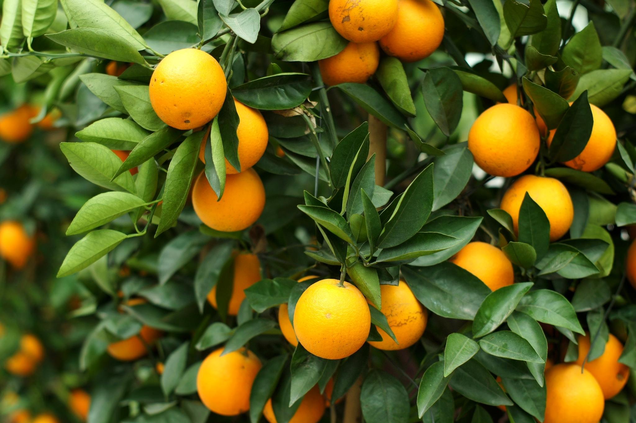 Обои рабочий стол апельсины на дереве