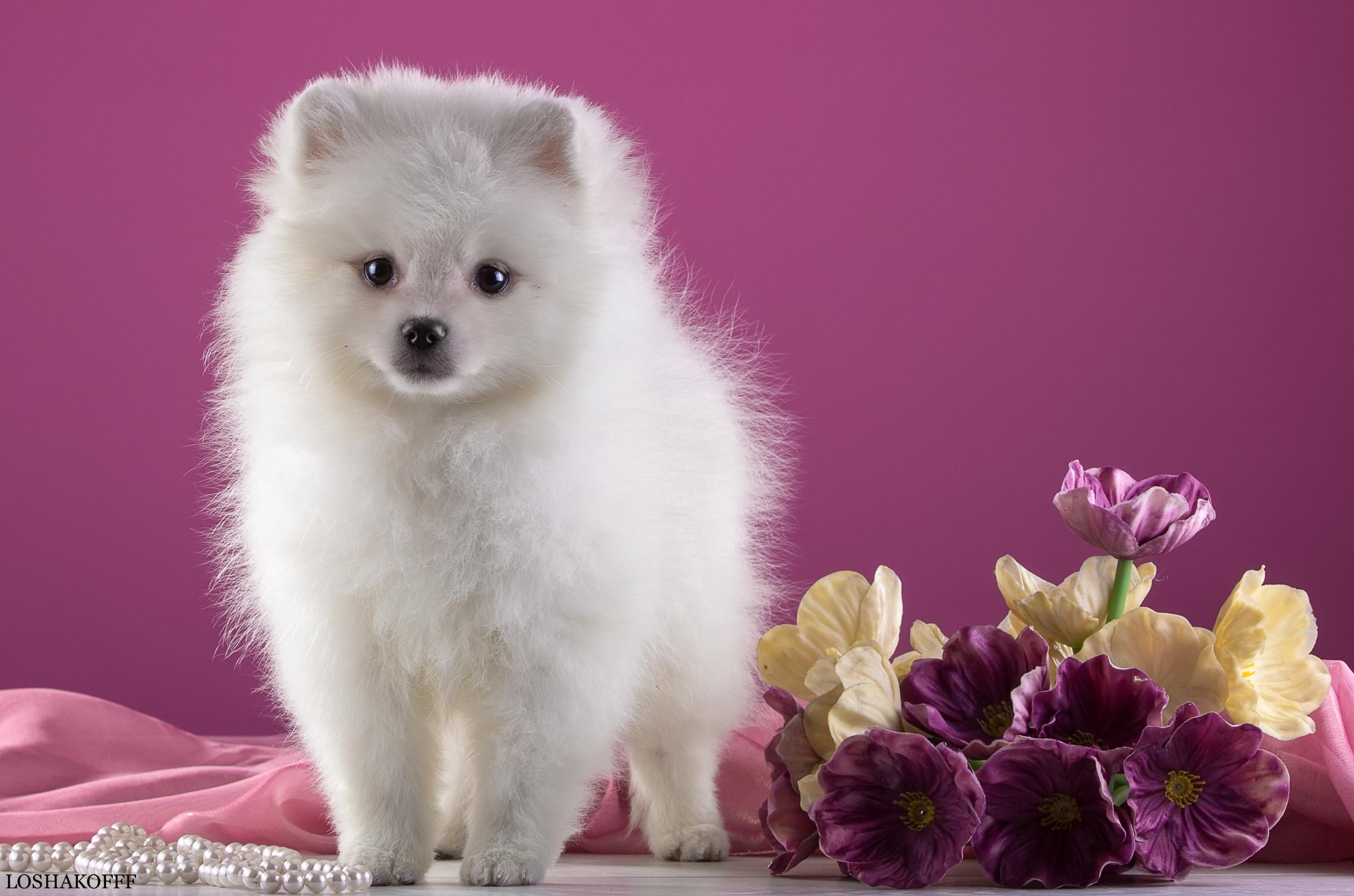 белые собаки щенки животные розовый фон  № 2918049 бесплатно