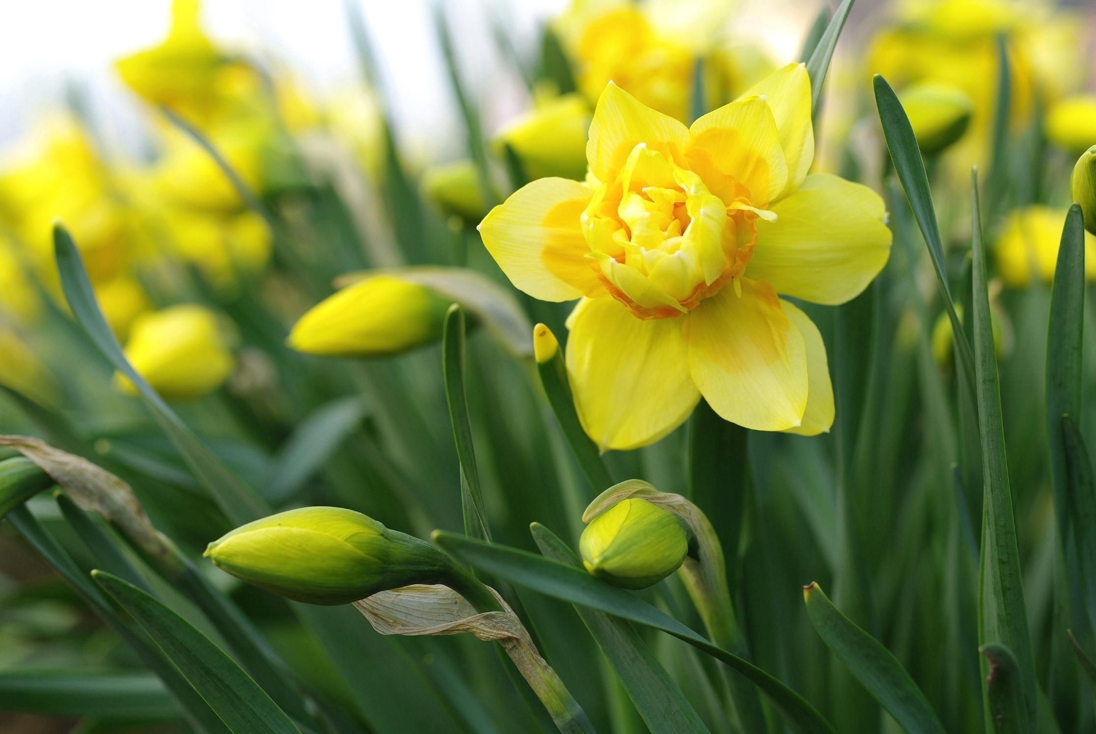 природа цветы желтые нарцисс без смс