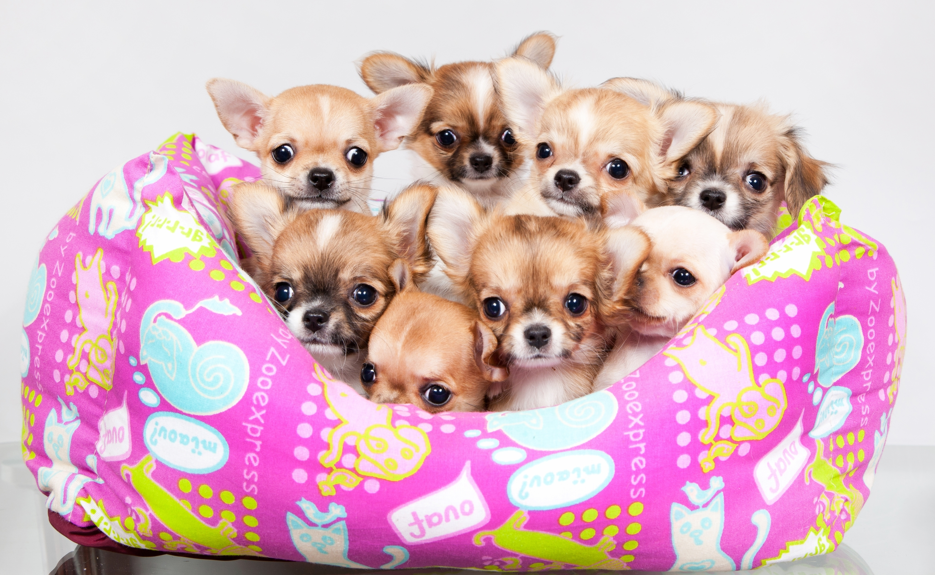 Lots of pictures of cute puppies Shorkie Puppies for sale USA and Canda - m