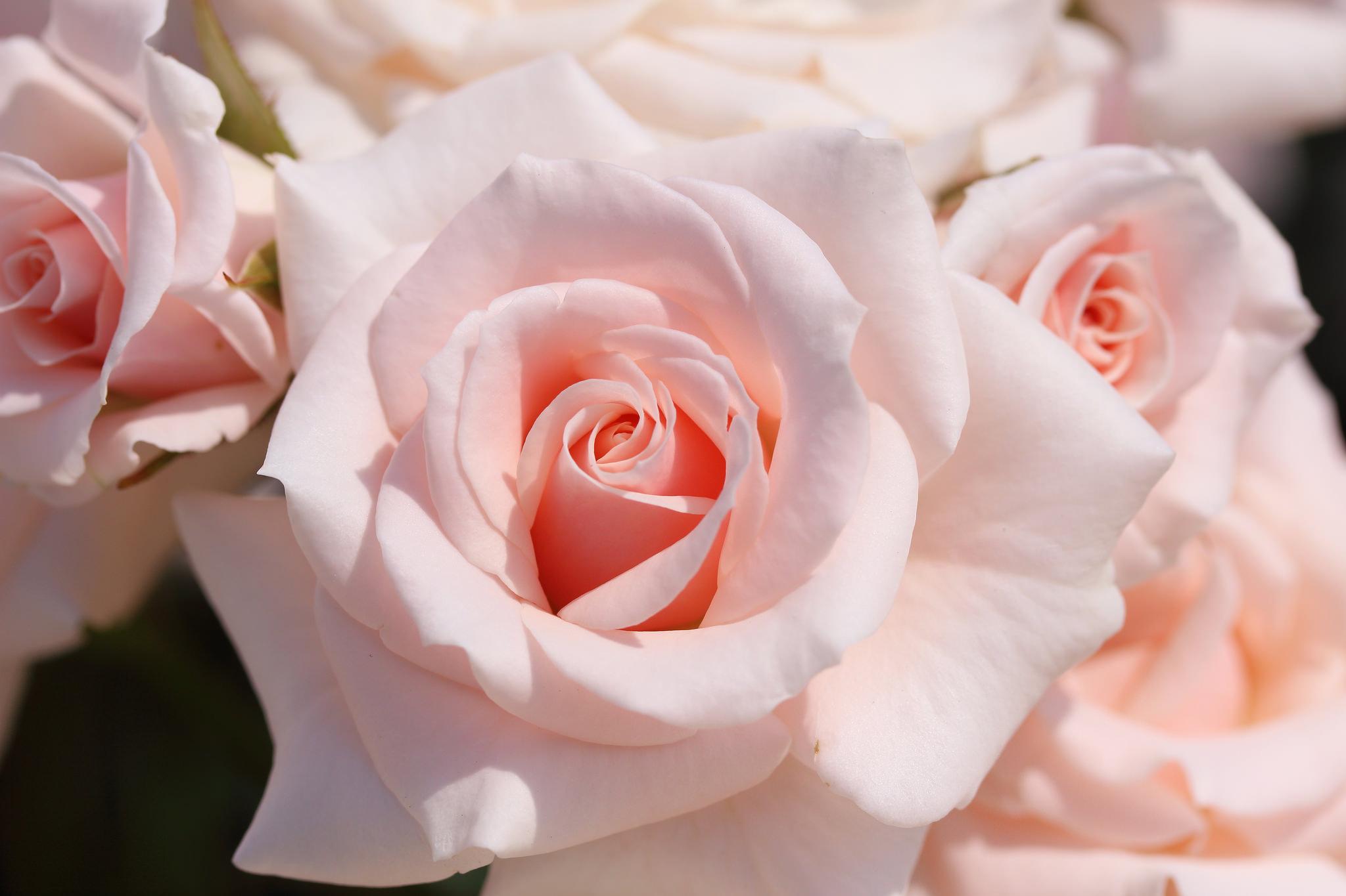 Картинки с розами нежные