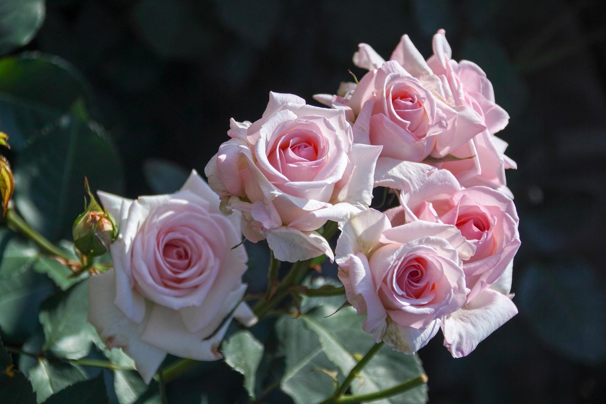 милава розы цветы фото большие большого разрешения это