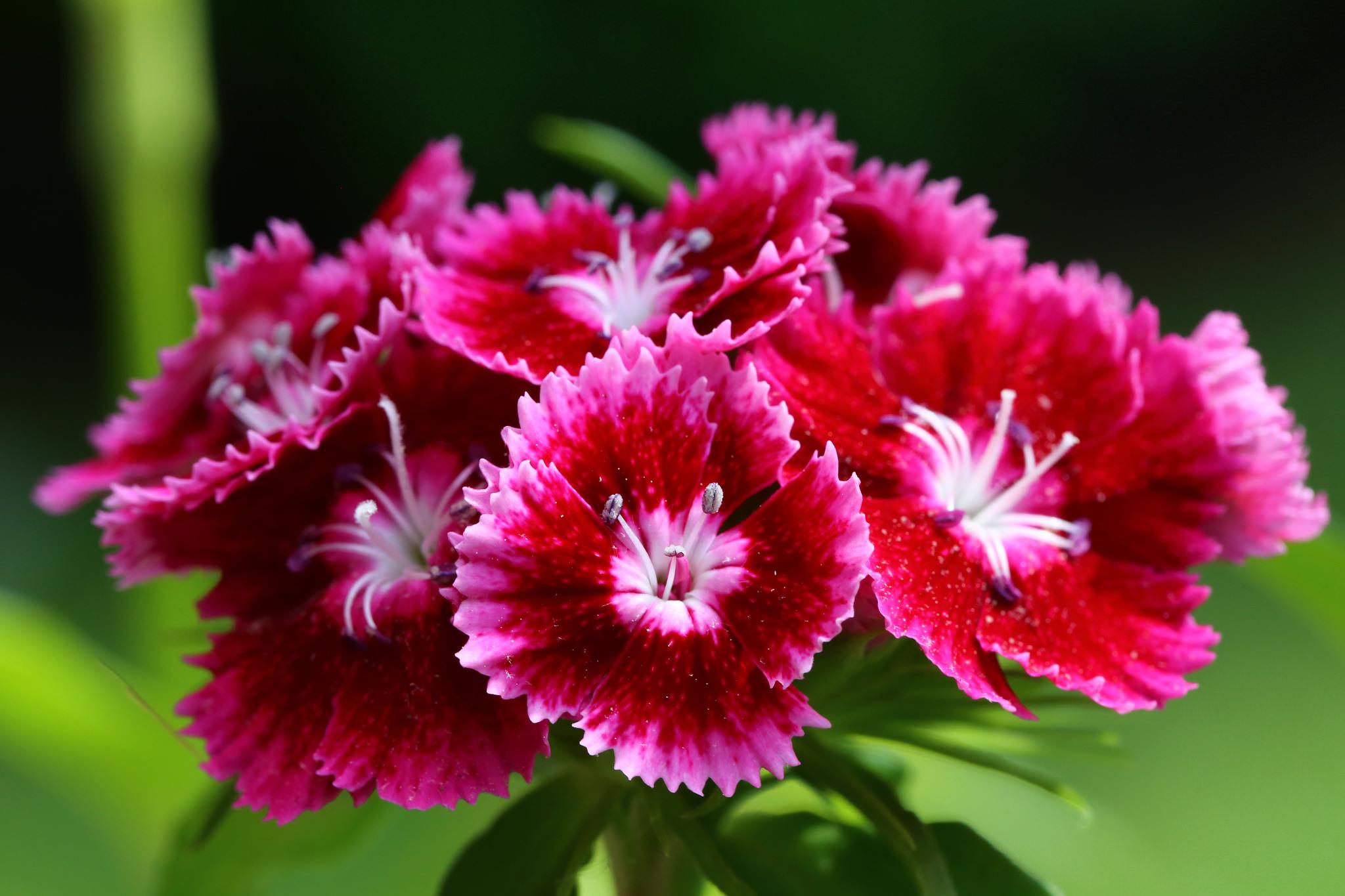 природа цветы гвоздики загрузить