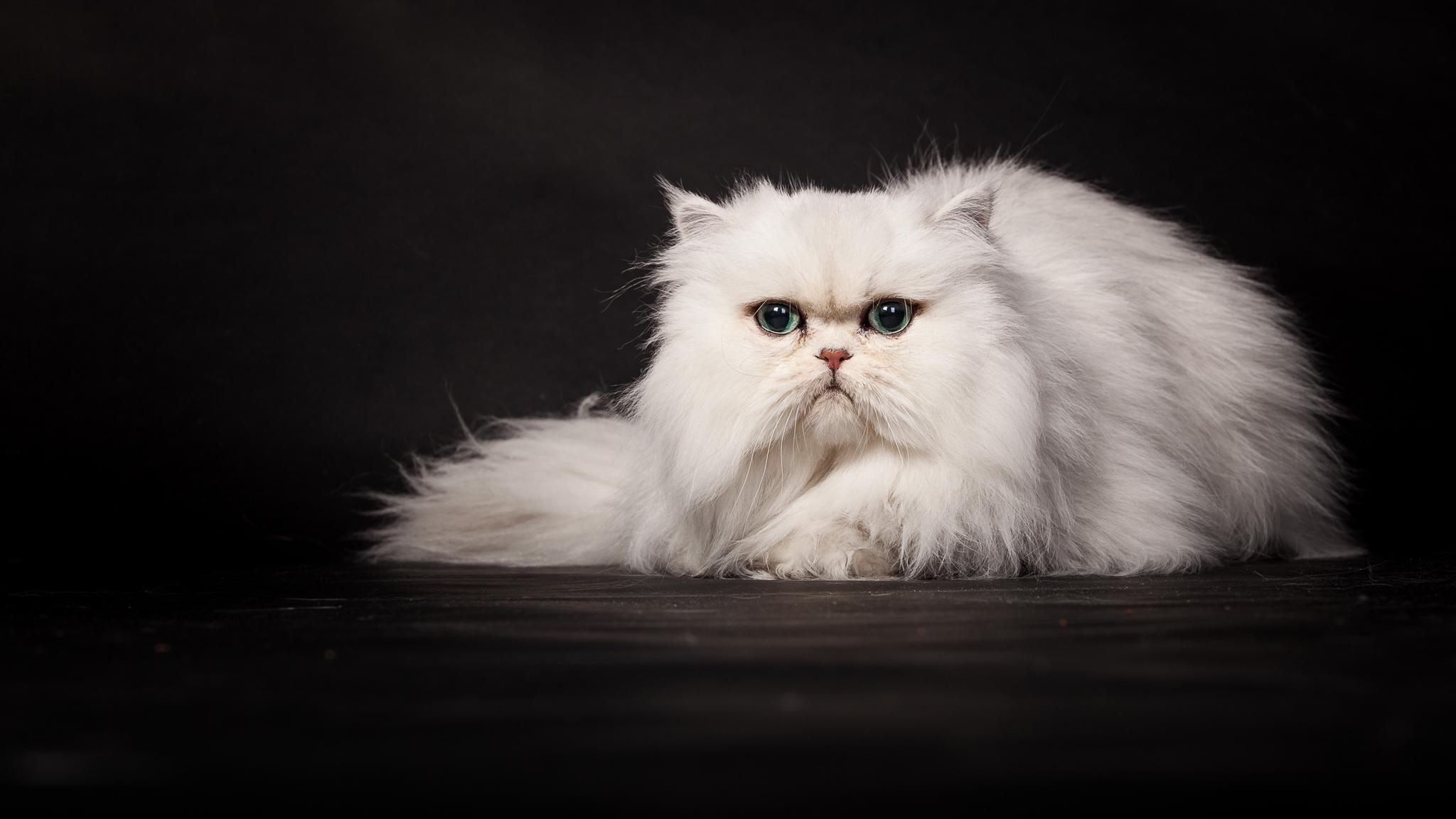 обои кошки для рабочего стола персы № 623744 без смс