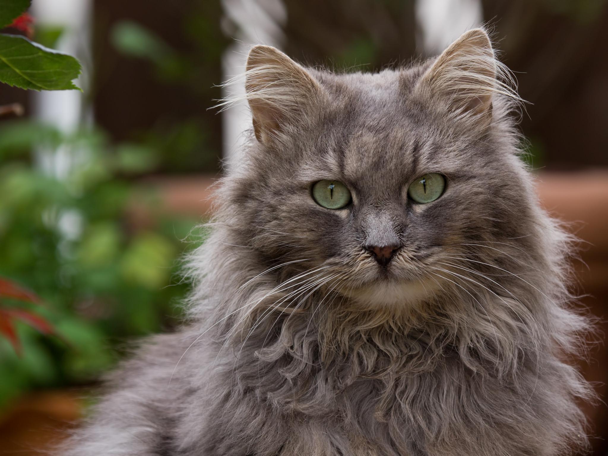 накидка-почно фото серые большие коты менее