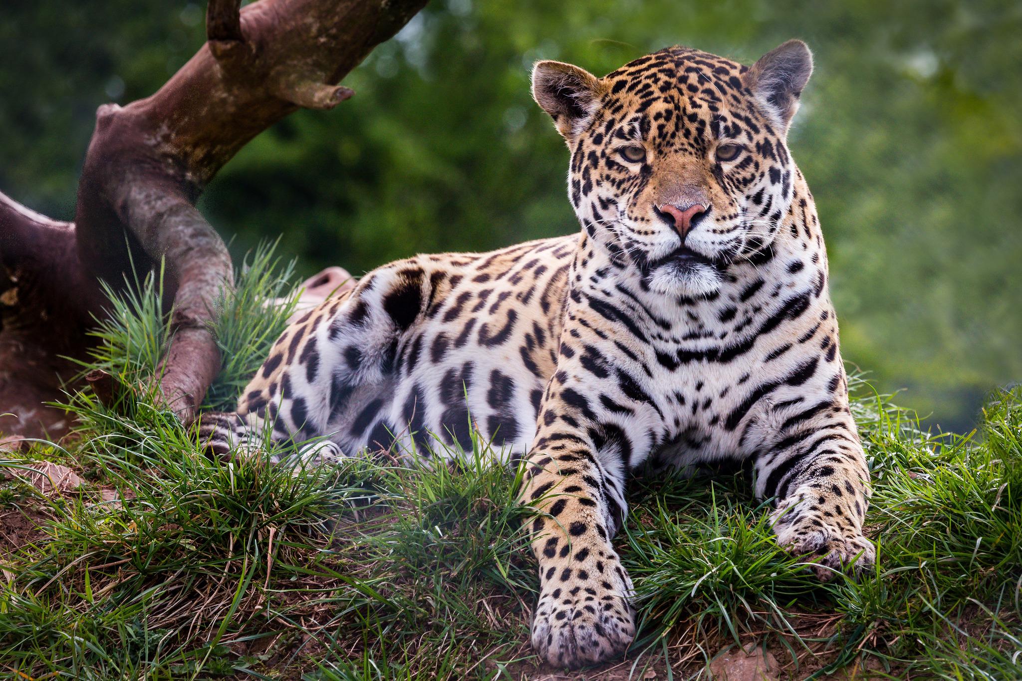 настоящее красивые картинки диких кошек кружки