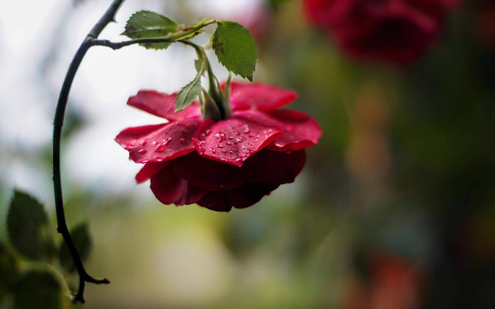 розы,капли,бутоны,зелень  № 759646 загрузить