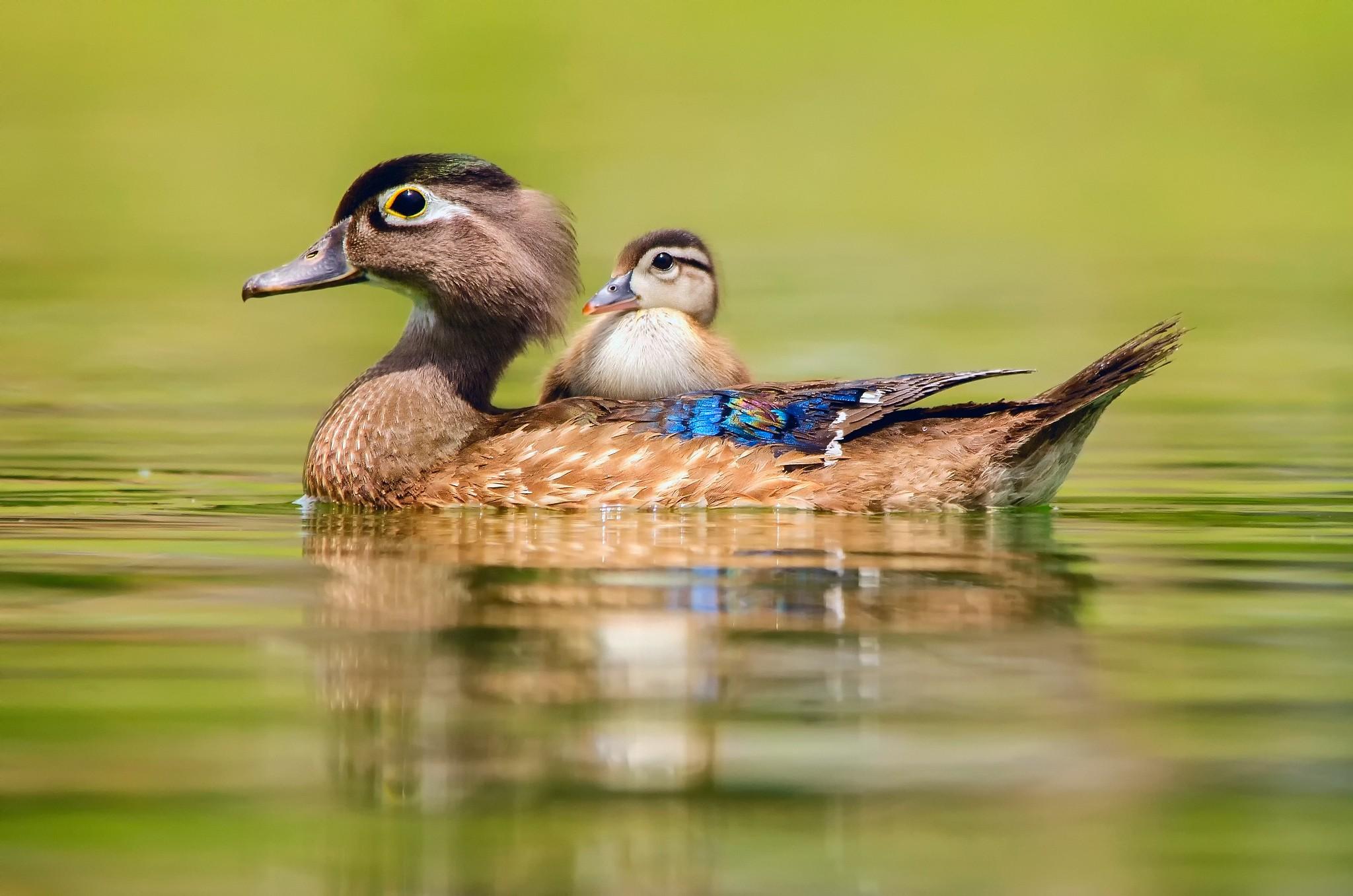 природа птица животное утка бесплатно