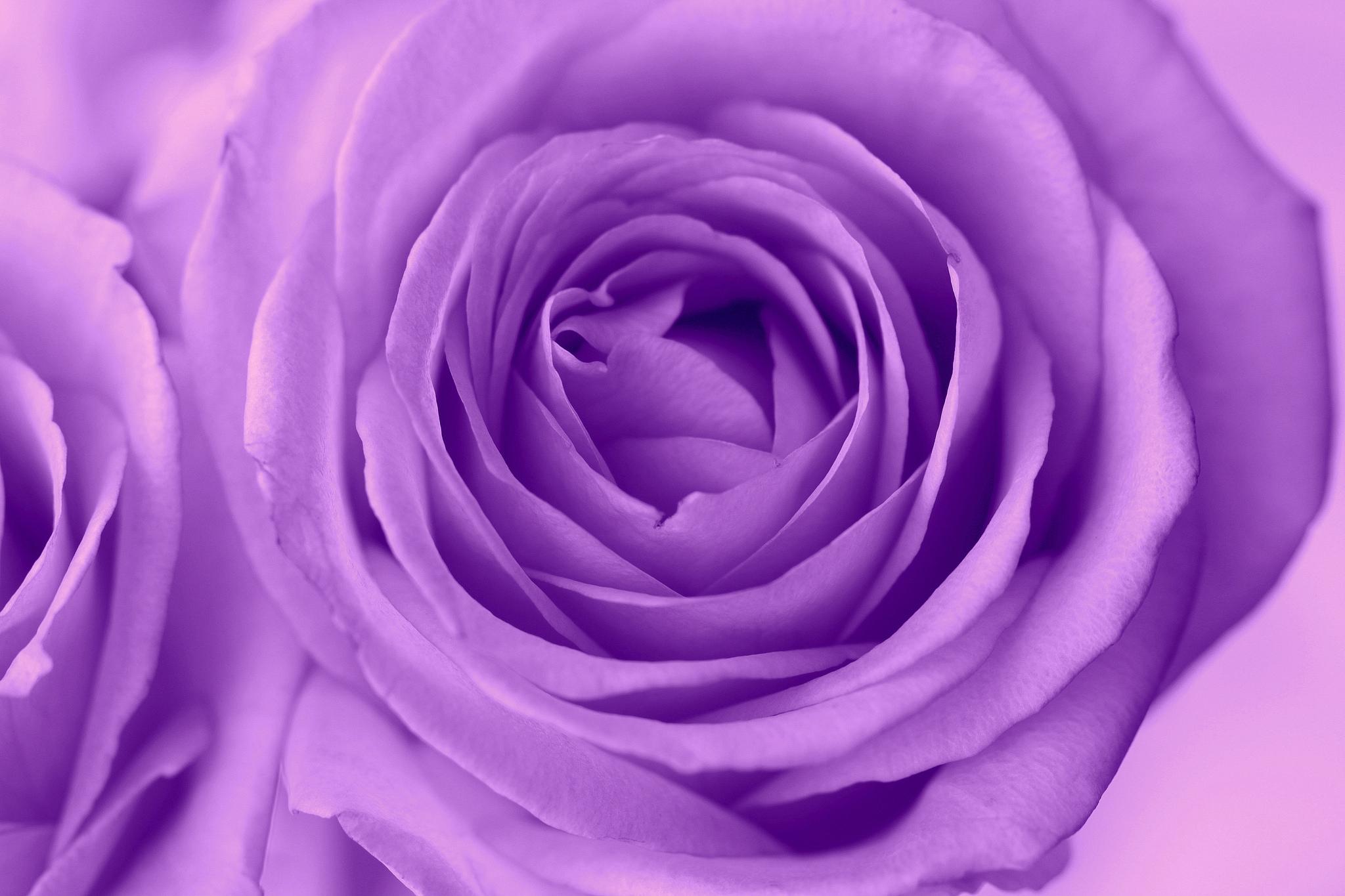 Сестре день, маленькие розы картинки фиолетовый фон