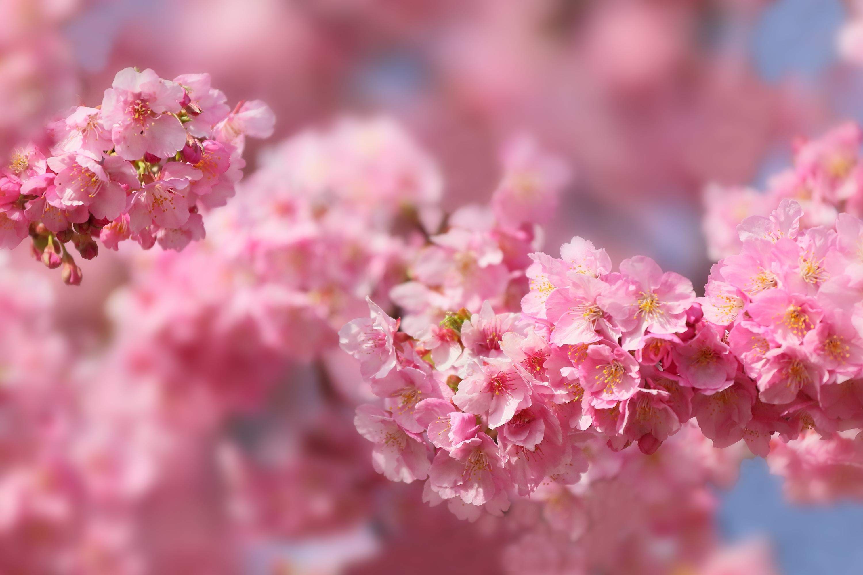 войны здесь весна картинки красивые розовые этом токио так
