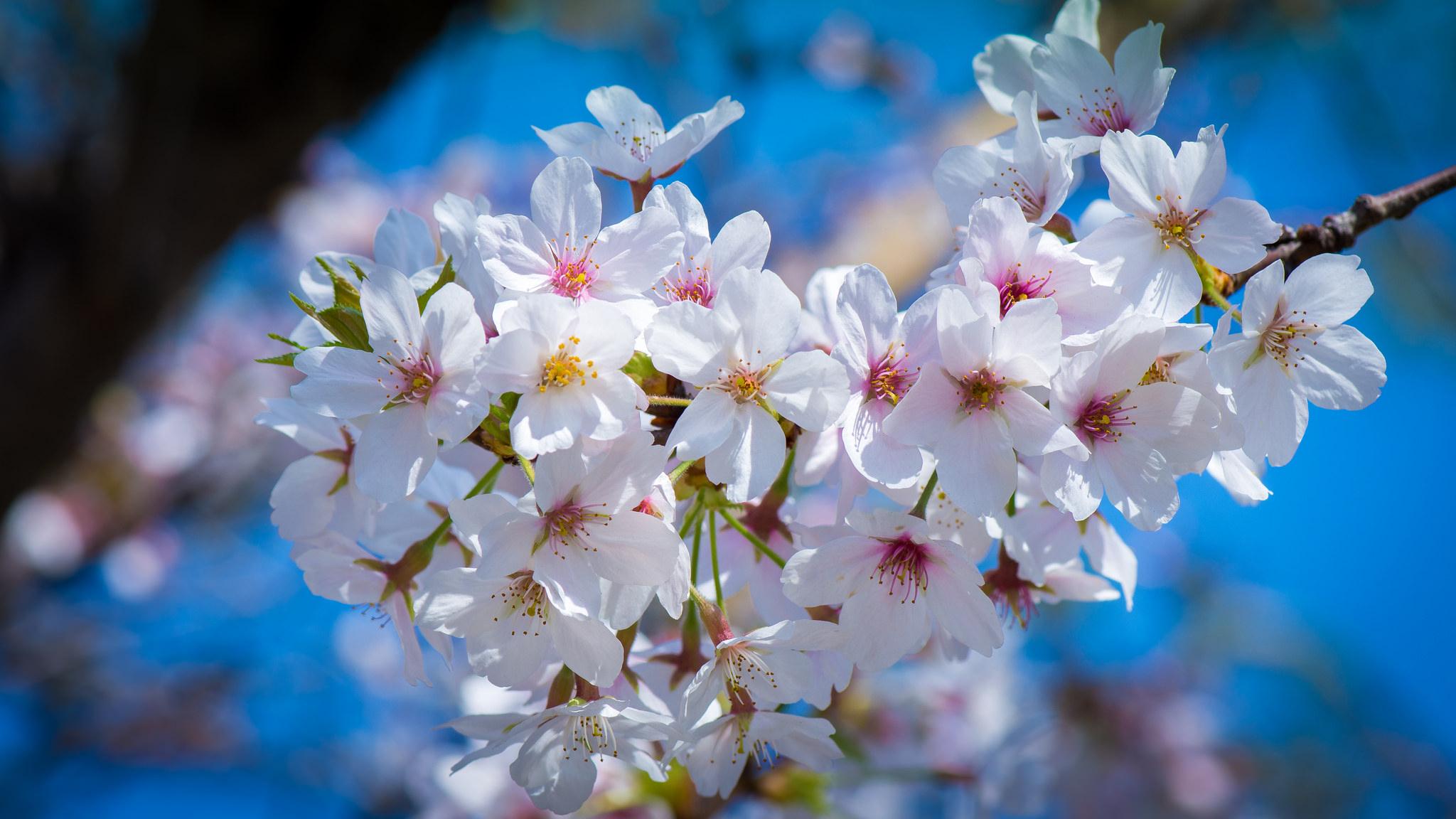 природа белые цветы сакура в хорошем качестве