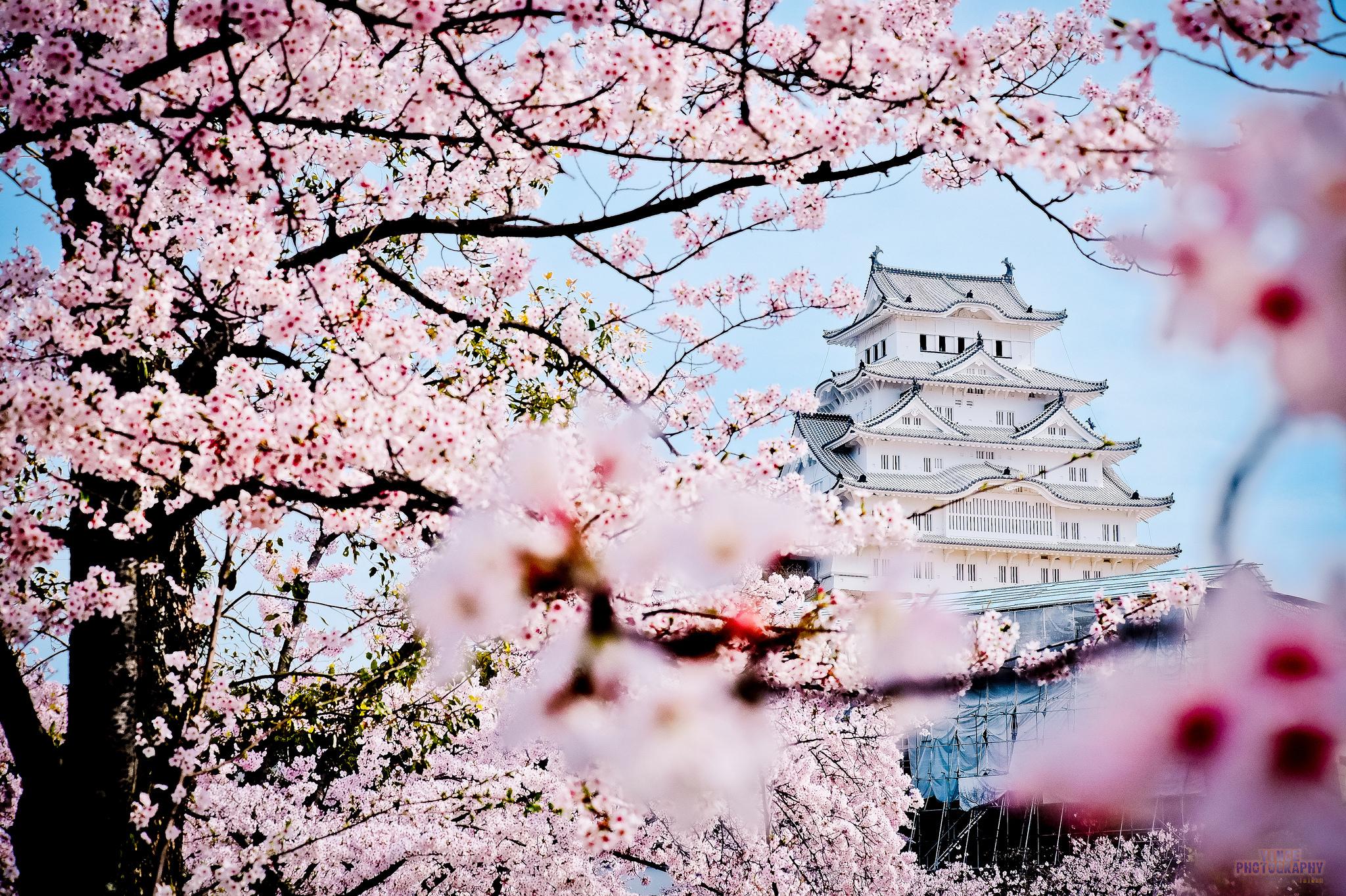 Замок Осака Япония сакура  № 3700722 без смс