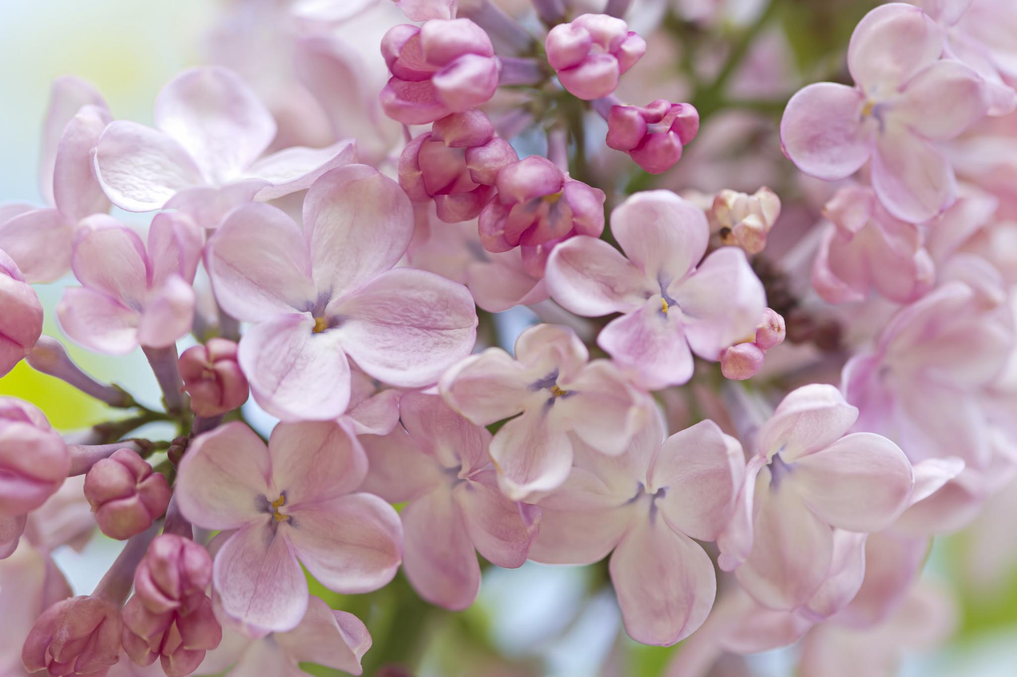 Сирень белая розовая сиреневая  № 3065878 без смс