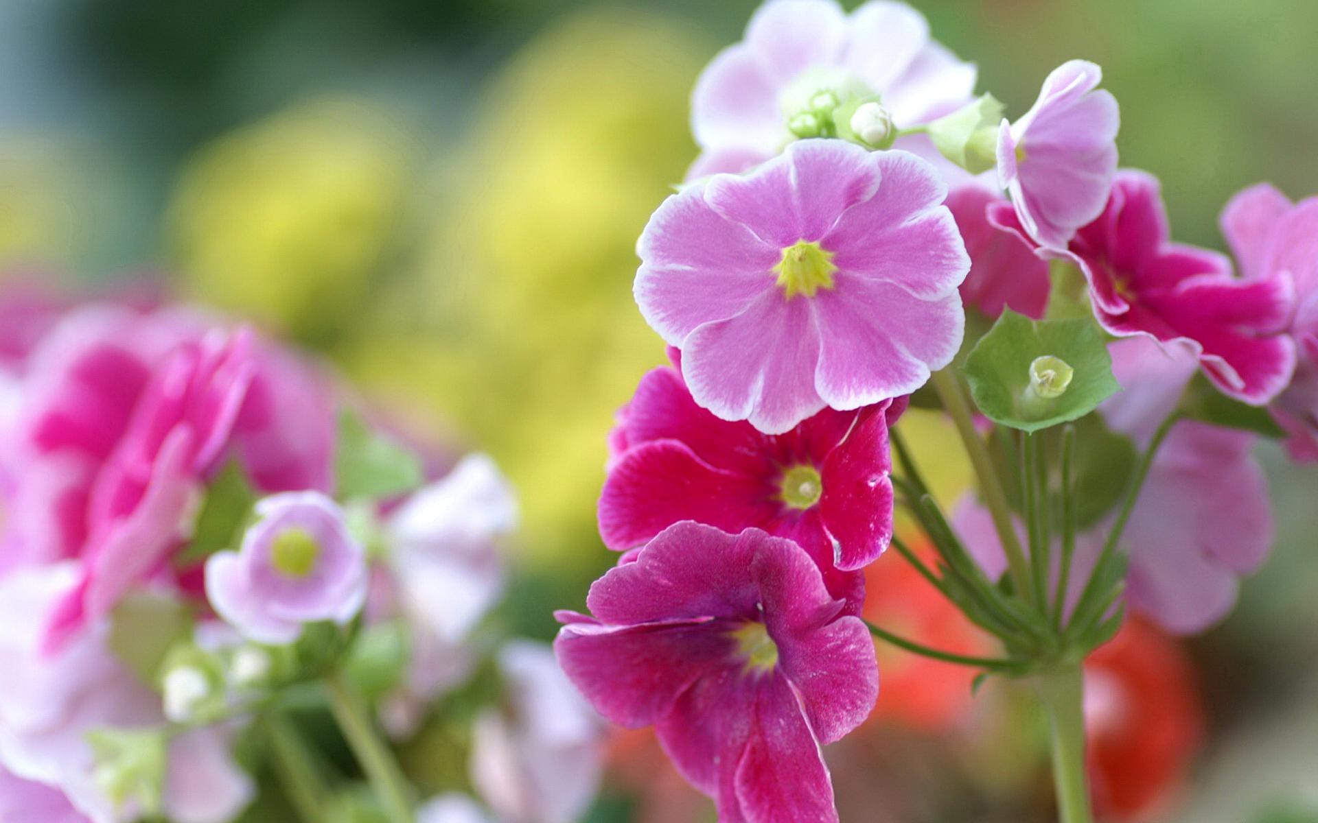 Обои для рабочего стола цветы герань