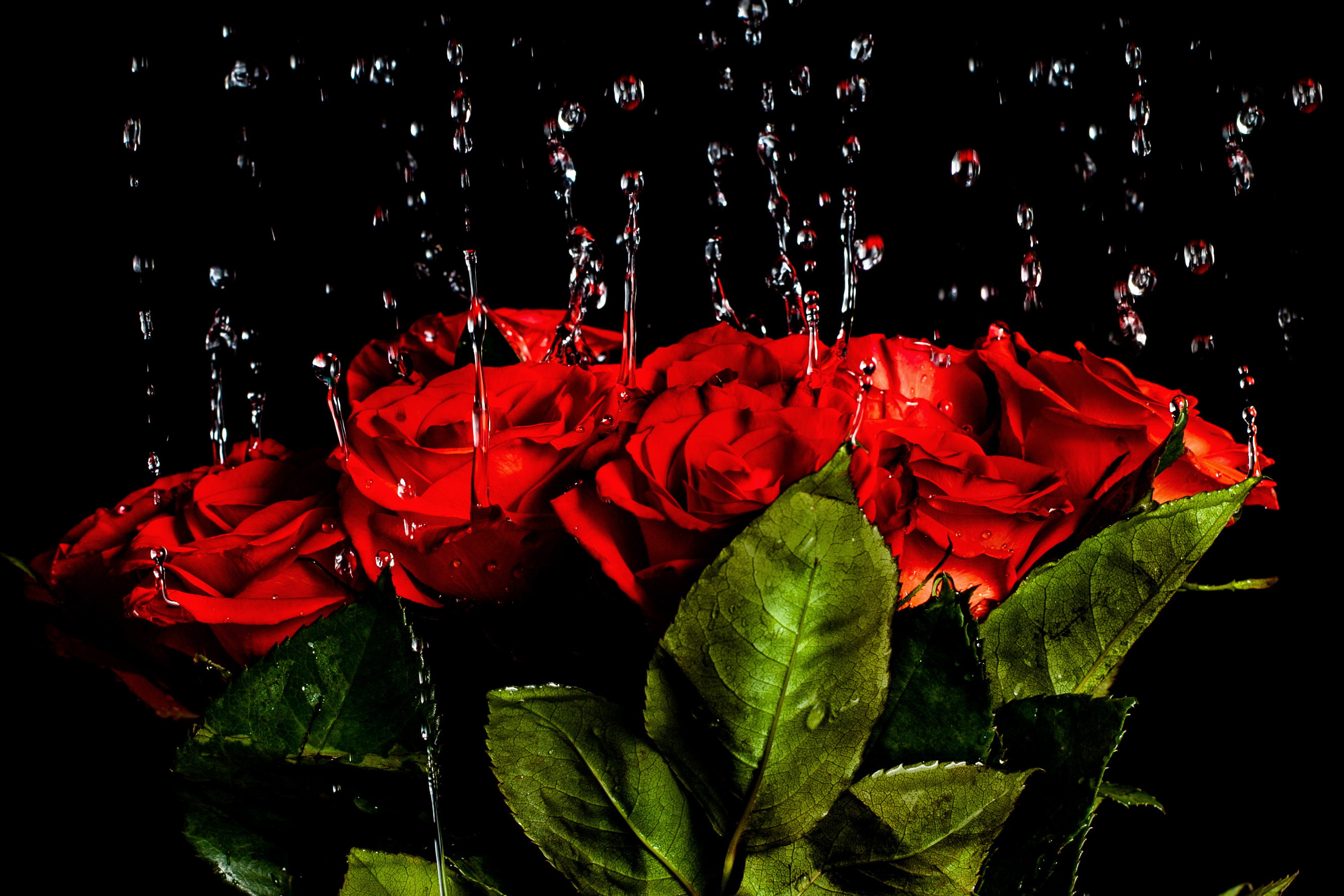 картинки красных роз на каплях воды переводе