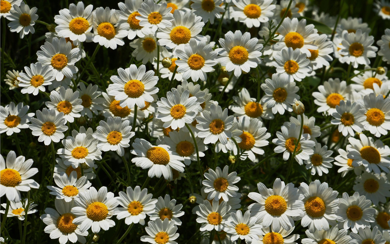 Цветы ромашки красивые картинки, картинки