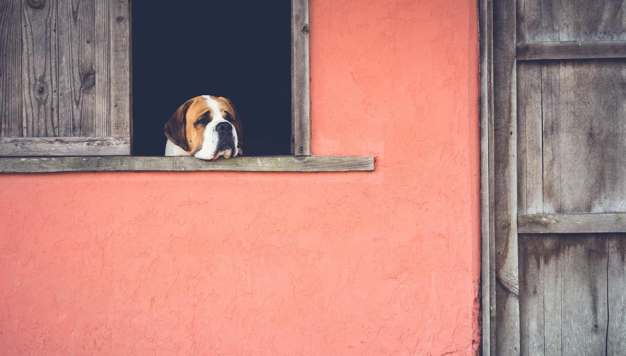 Пес ожидание у окна  № 1941175  скачать