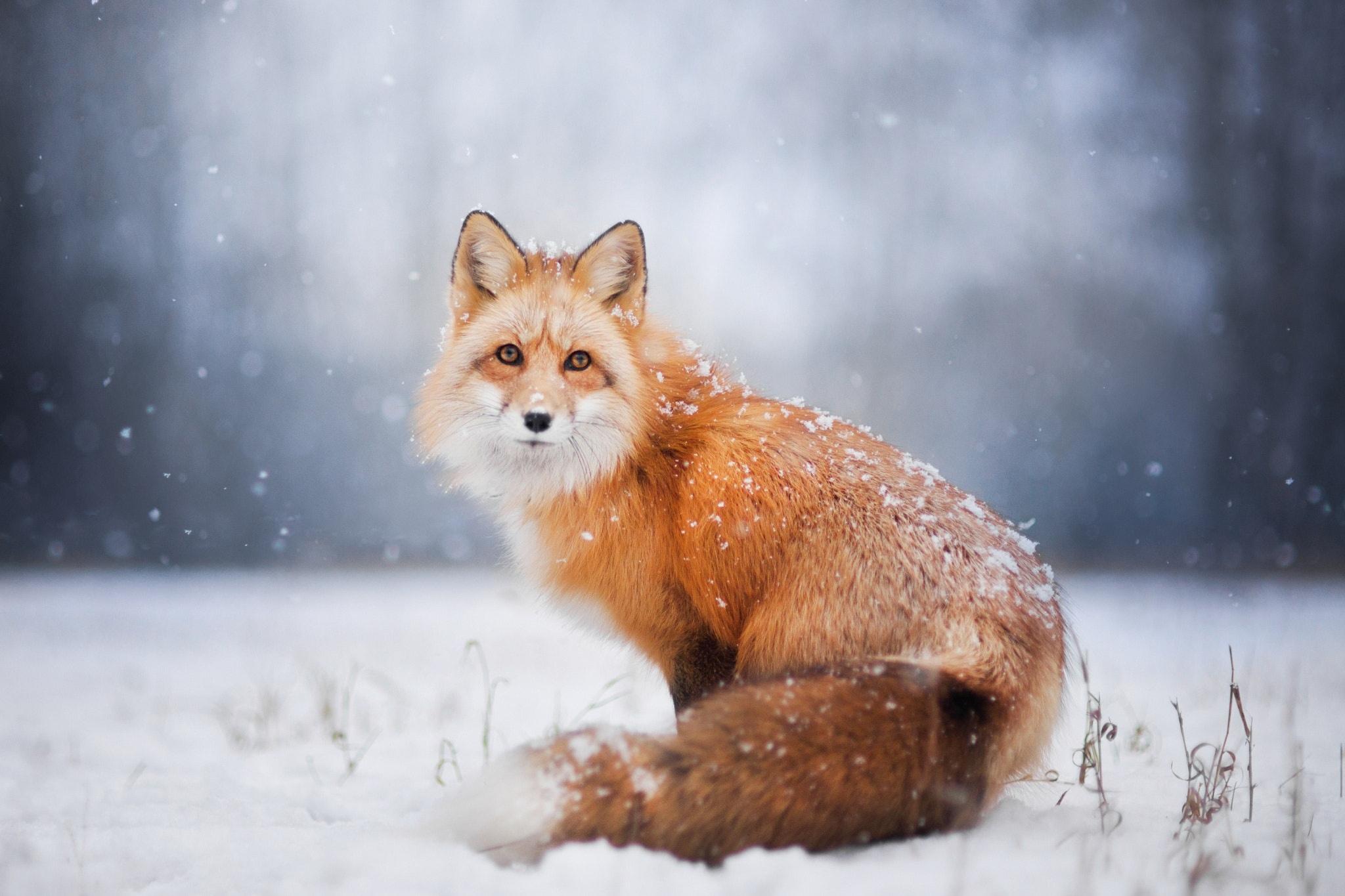 Фото лисы качественное #5