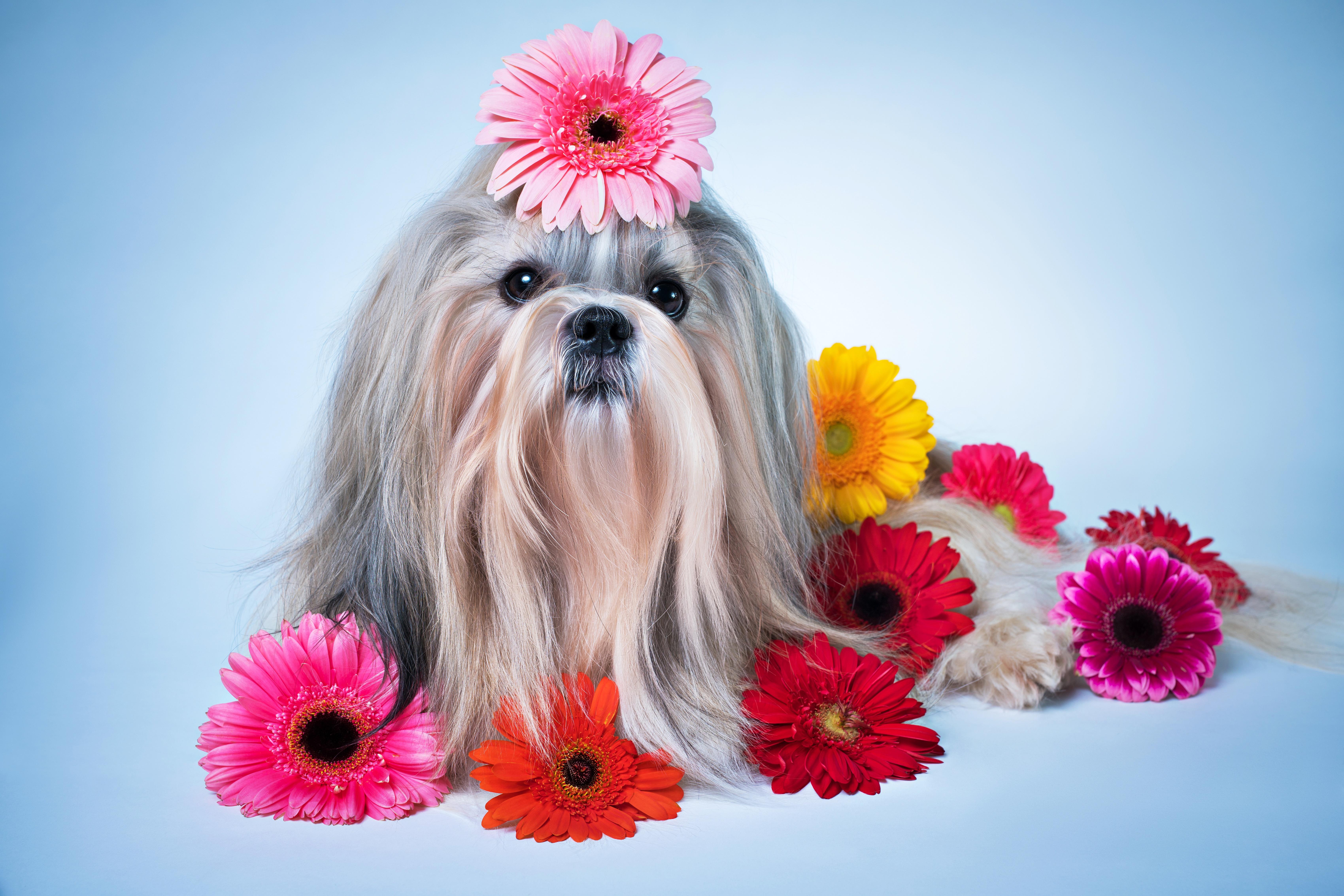Цветок собачки