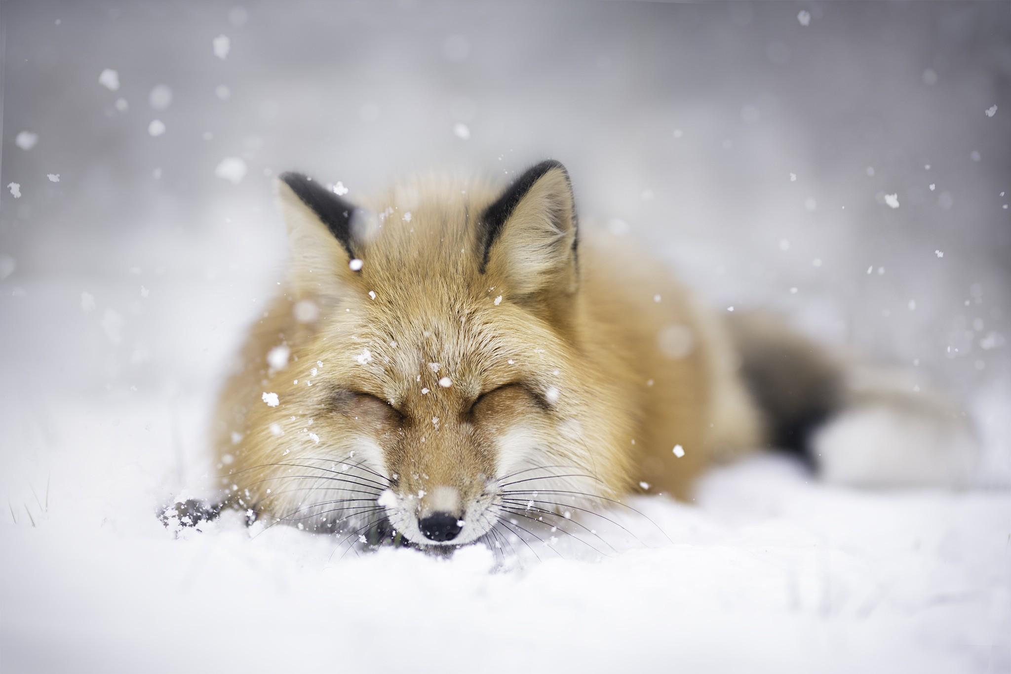 Лисенок на снегу без смс