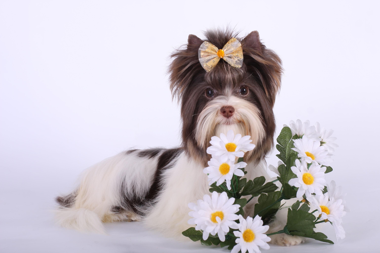 Йоркширский терьер фото цветов