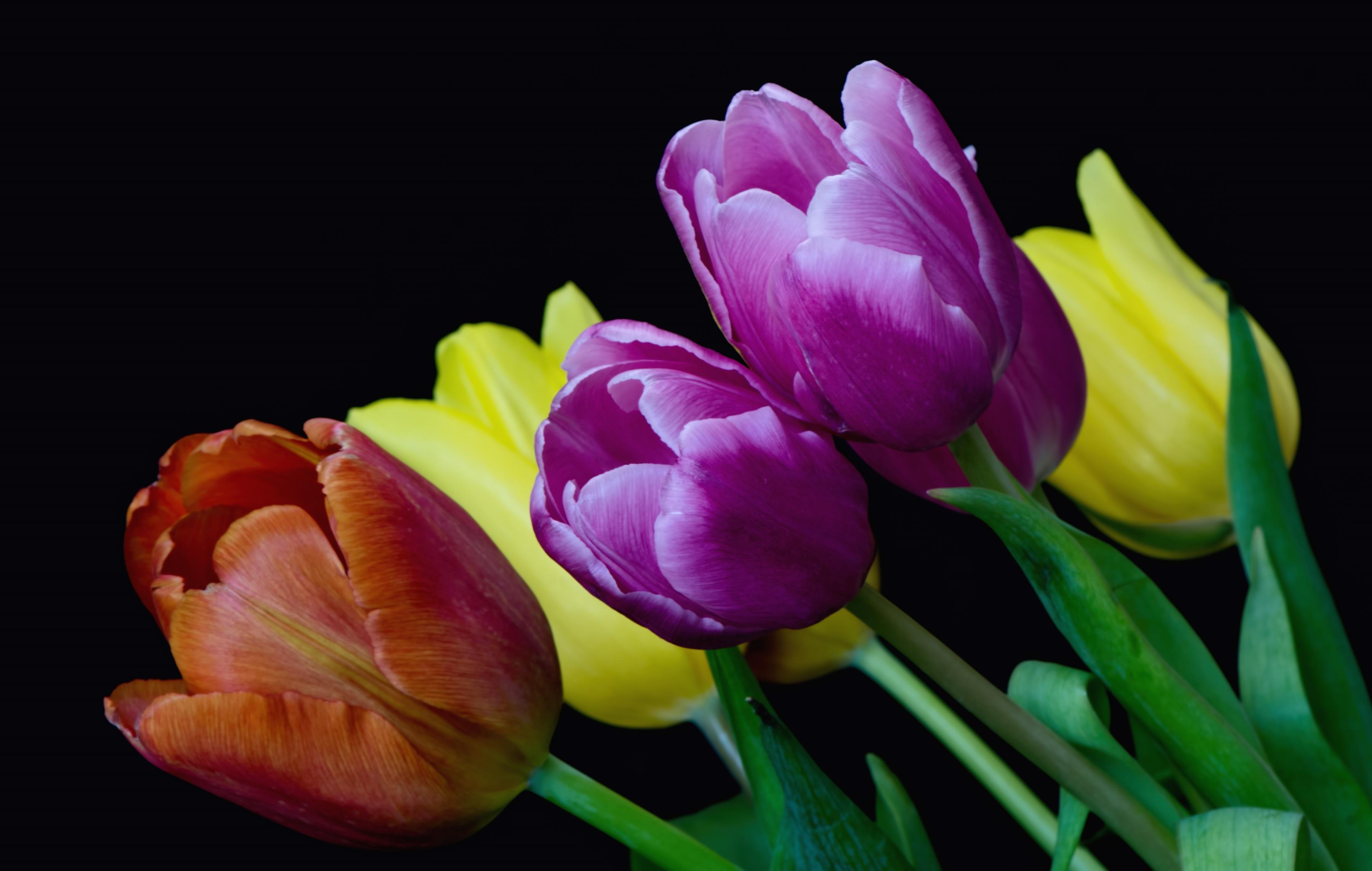 Обои На Телефон Тюльпаны