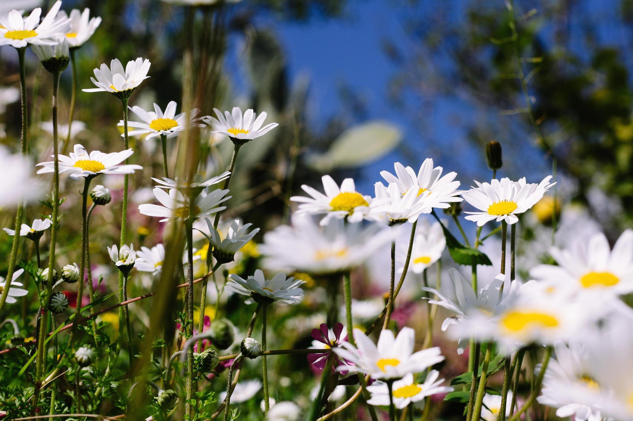 Картинки на рабочий стол телефона цветы полевые