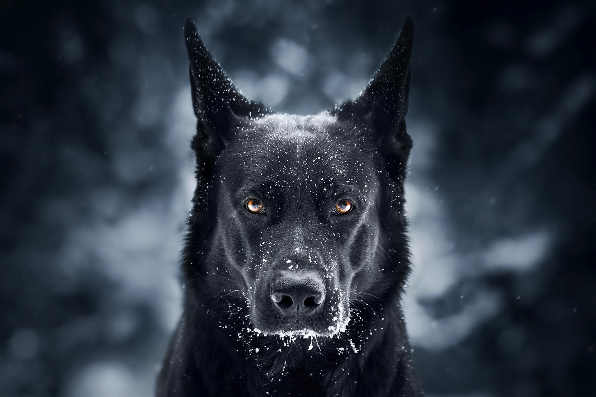 Пёс черный взгляд  № 1127406  скачать