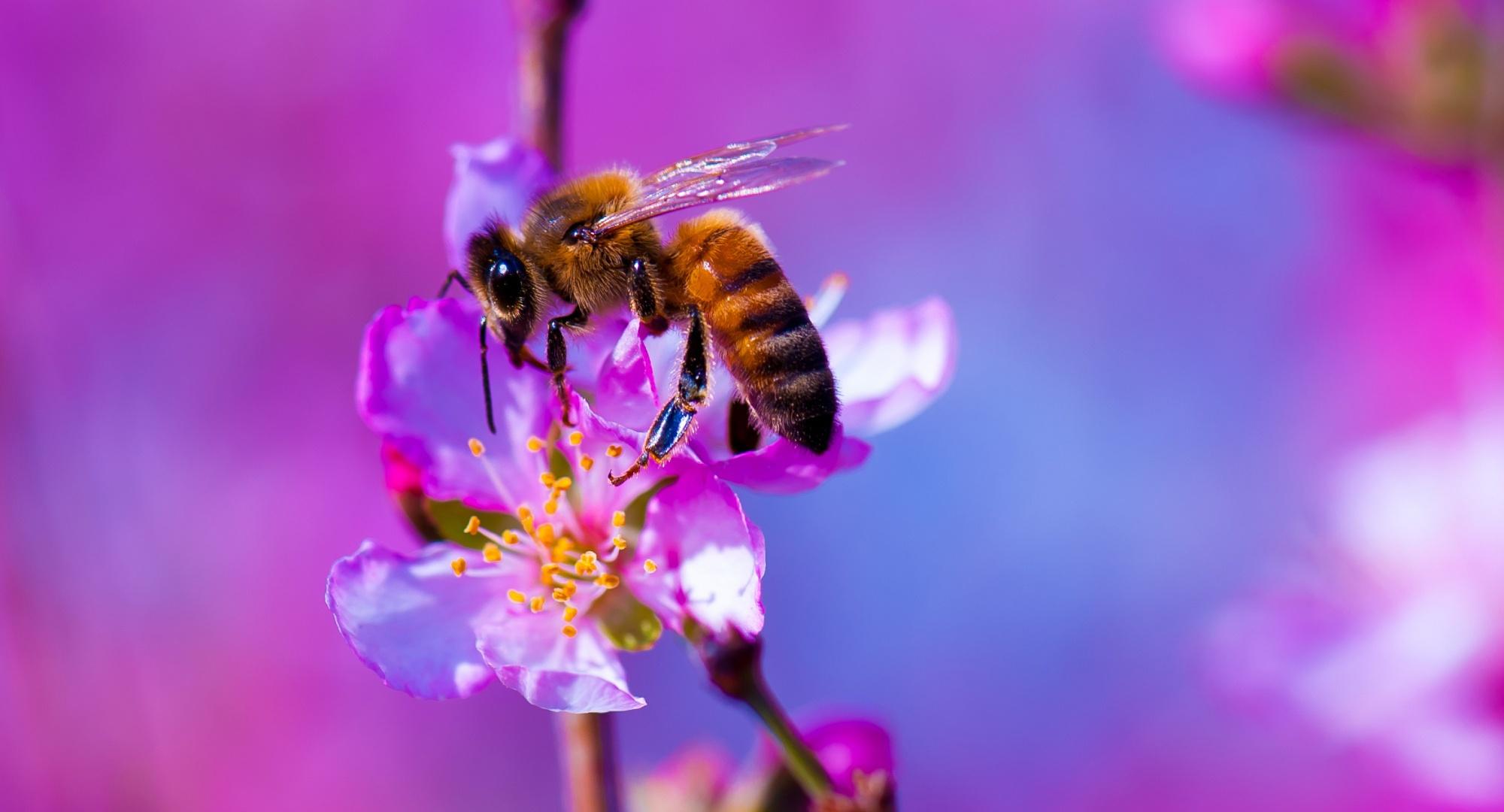 макро одуванчик животное насекомое пчела цветы природа  № 3007261 загрузить