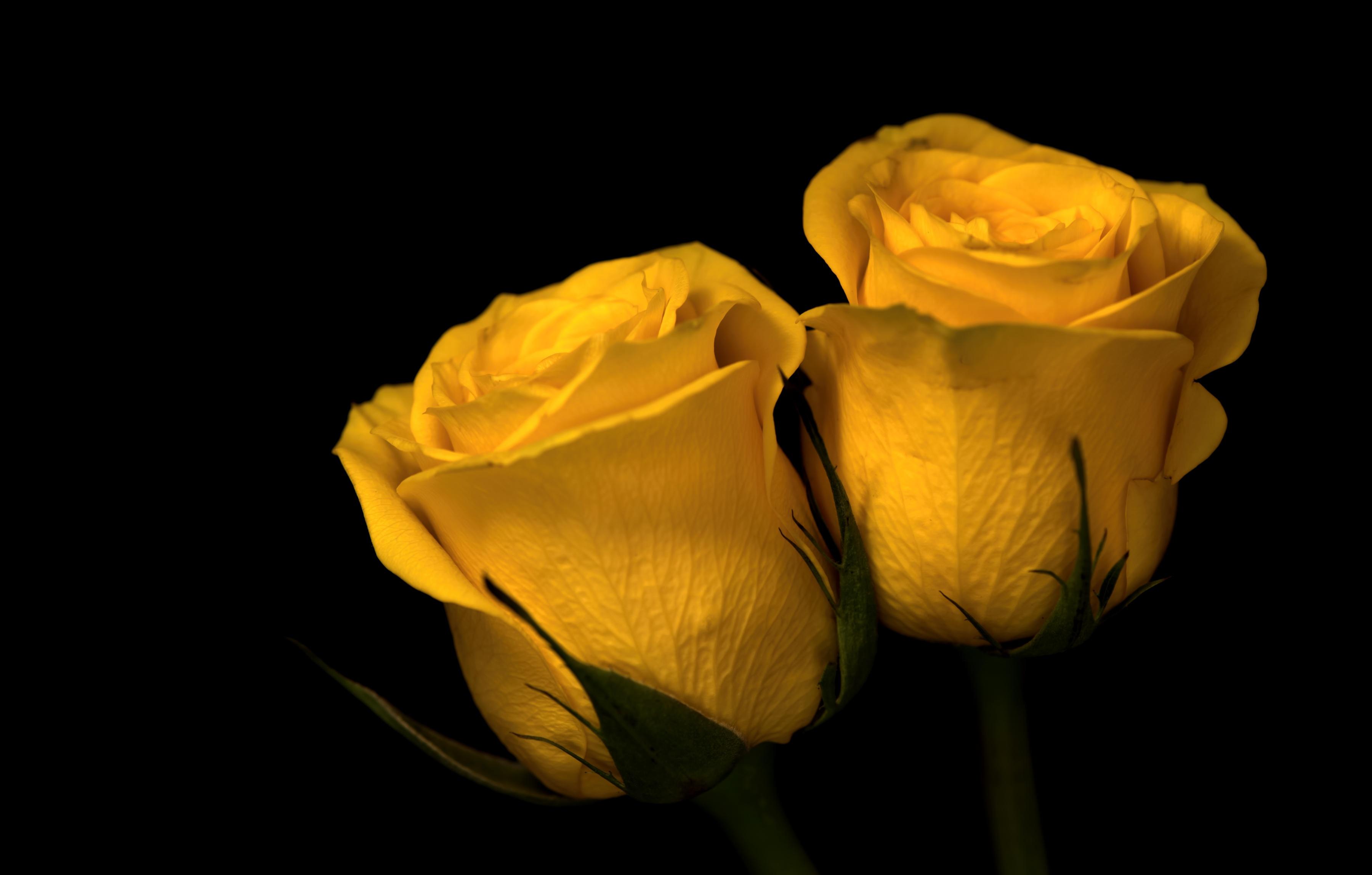Собак цветами, картинки желтые розы на черном фоне