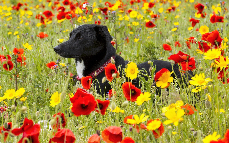 собака поле цветы скачать