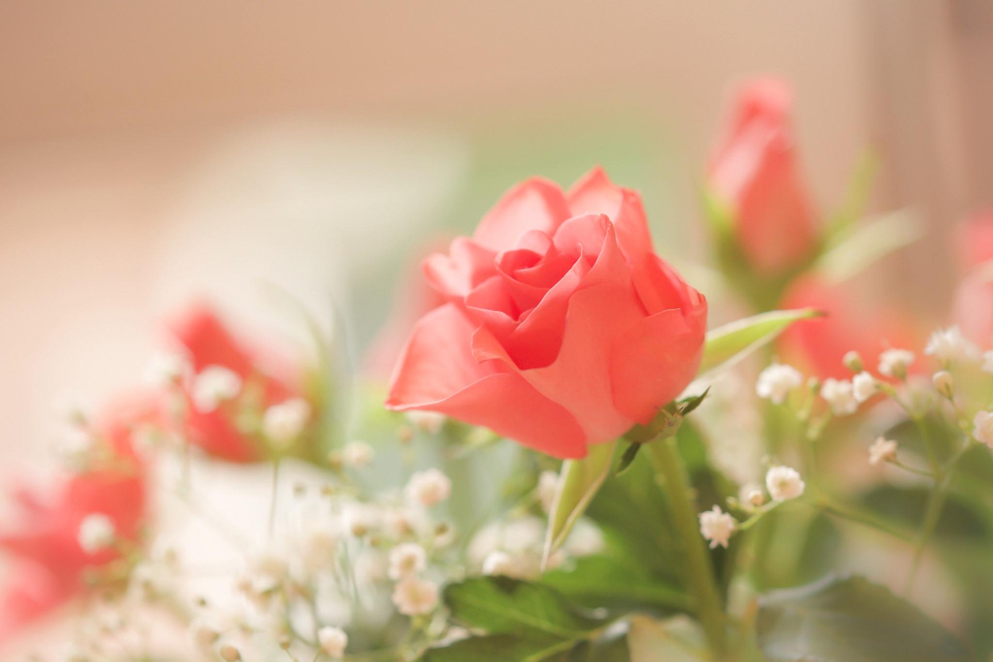 розы, гипсофила, бутоны бесплатно
