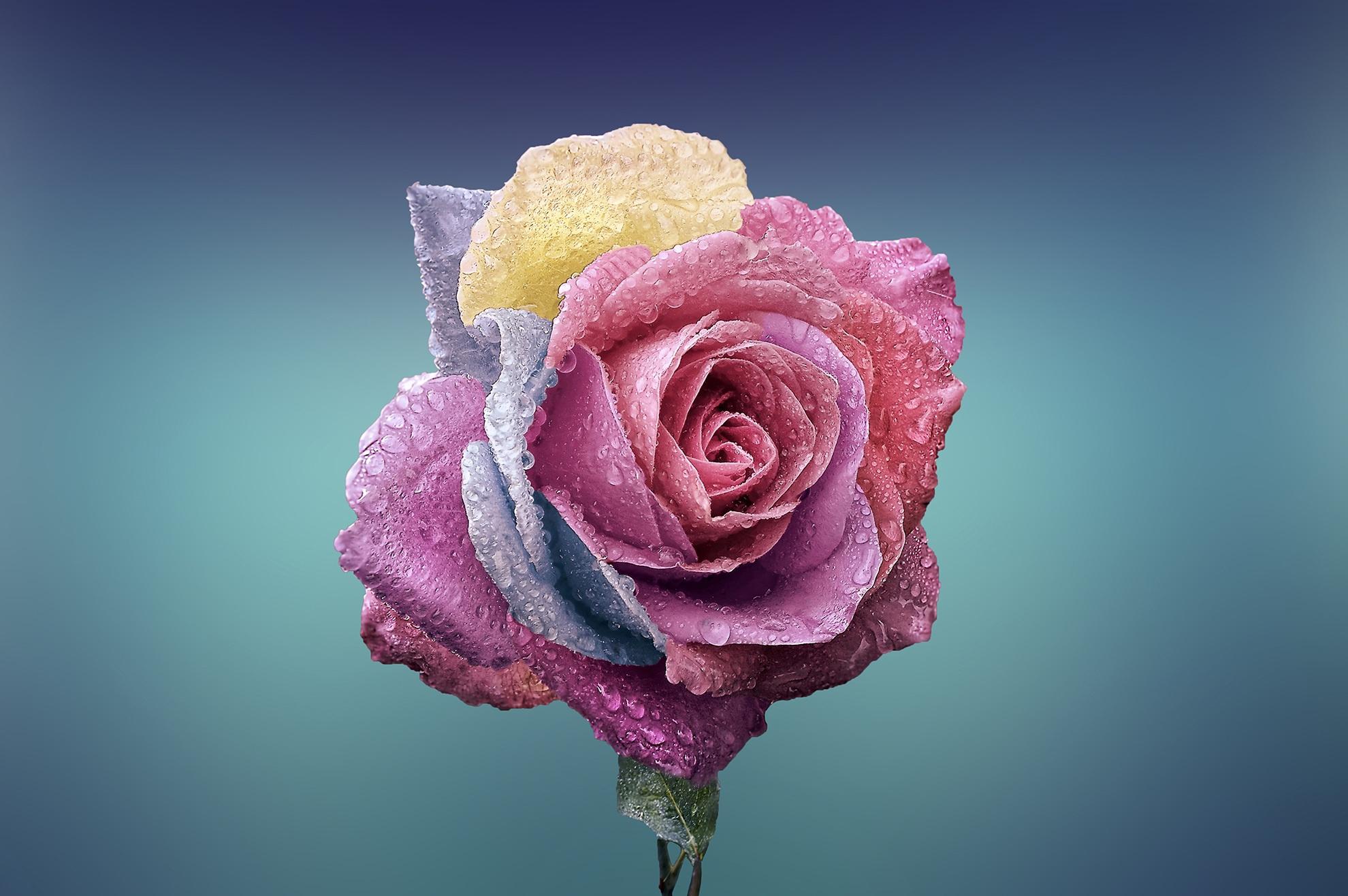 Красивые розы в картинках
