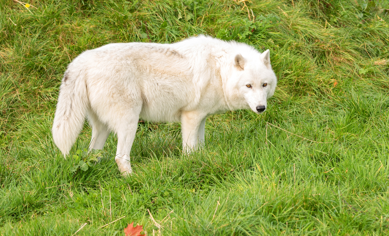 Тату волк фото эскизы удивительными