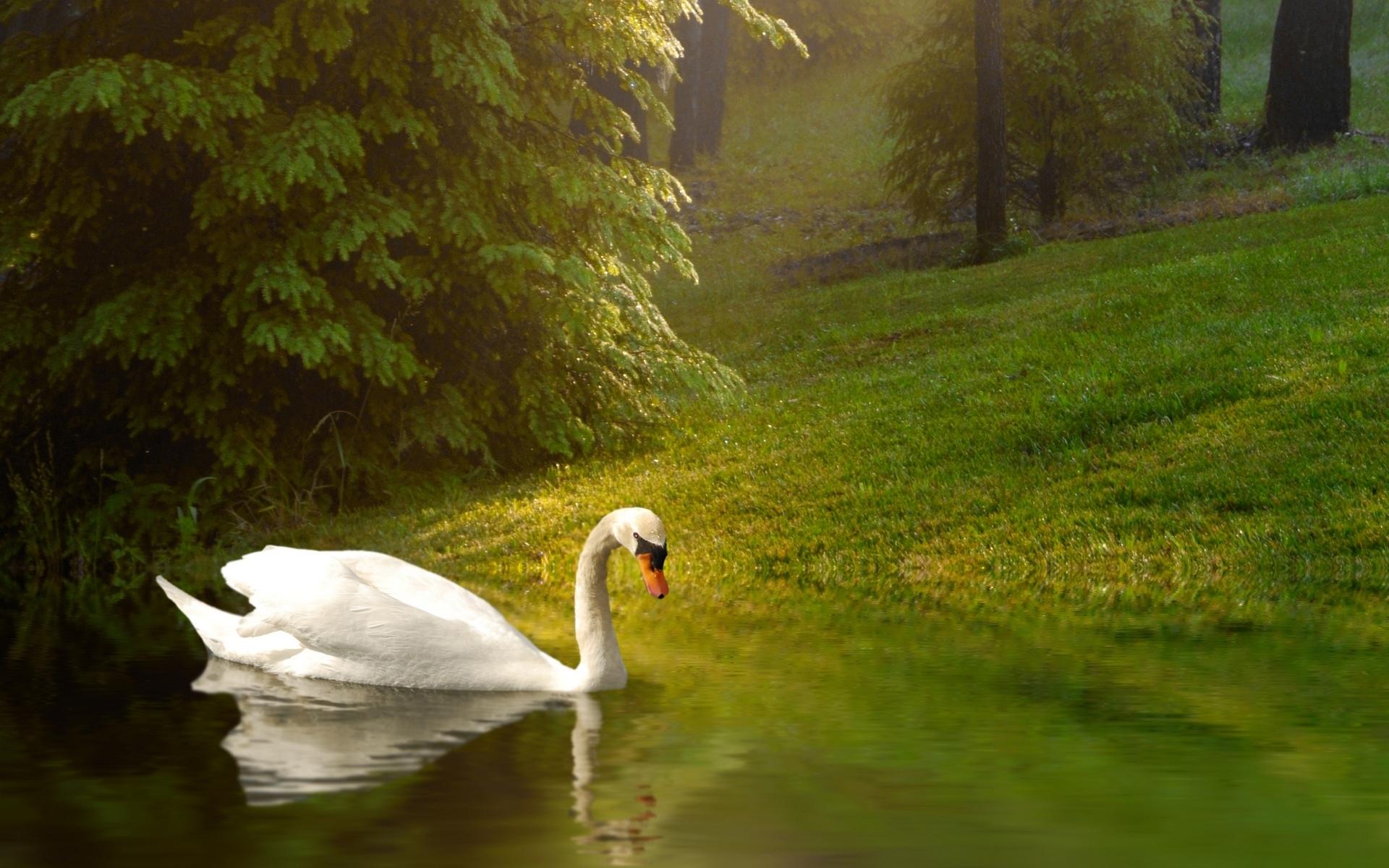 Лебеди без смс