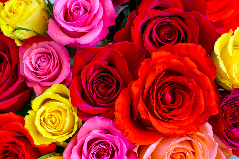 Картинки розы красивые красные